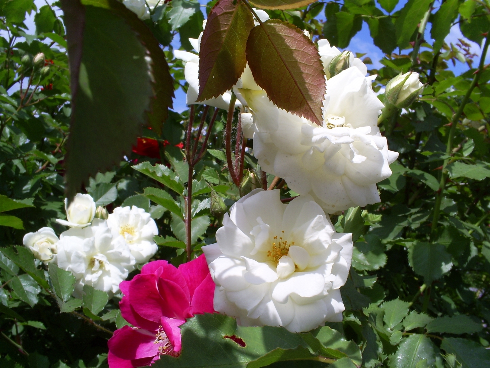5683 скачать обои Растения, Цветы, Розы - заставки и картинки бесплатно