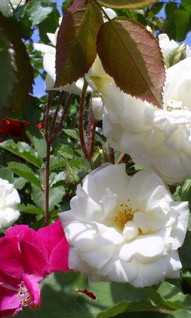 5683 télécharger le fond d'écran Plantes, Fleurs, Roses - économiseurs d'écran et images gratuitement
