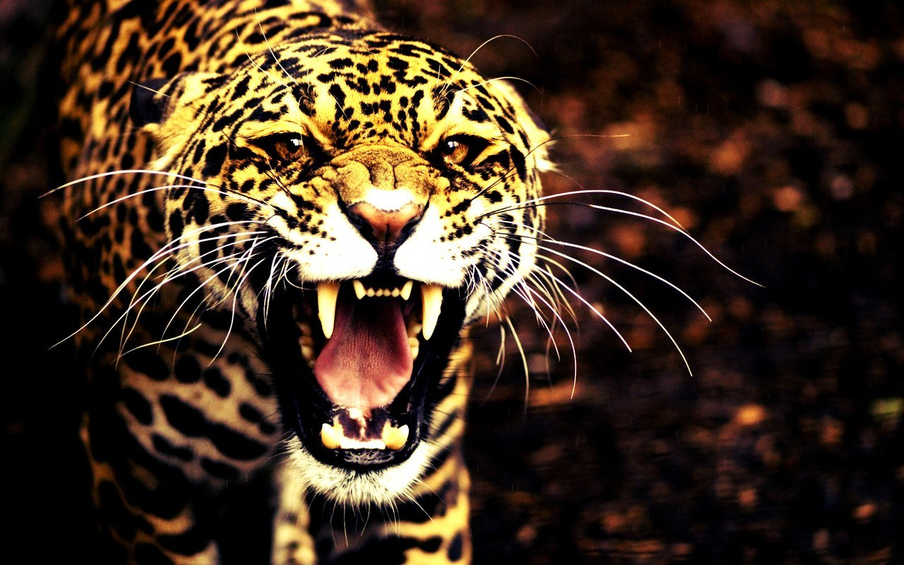 20339 download wallpaper Animals, Leopards screensavers and pictures for free