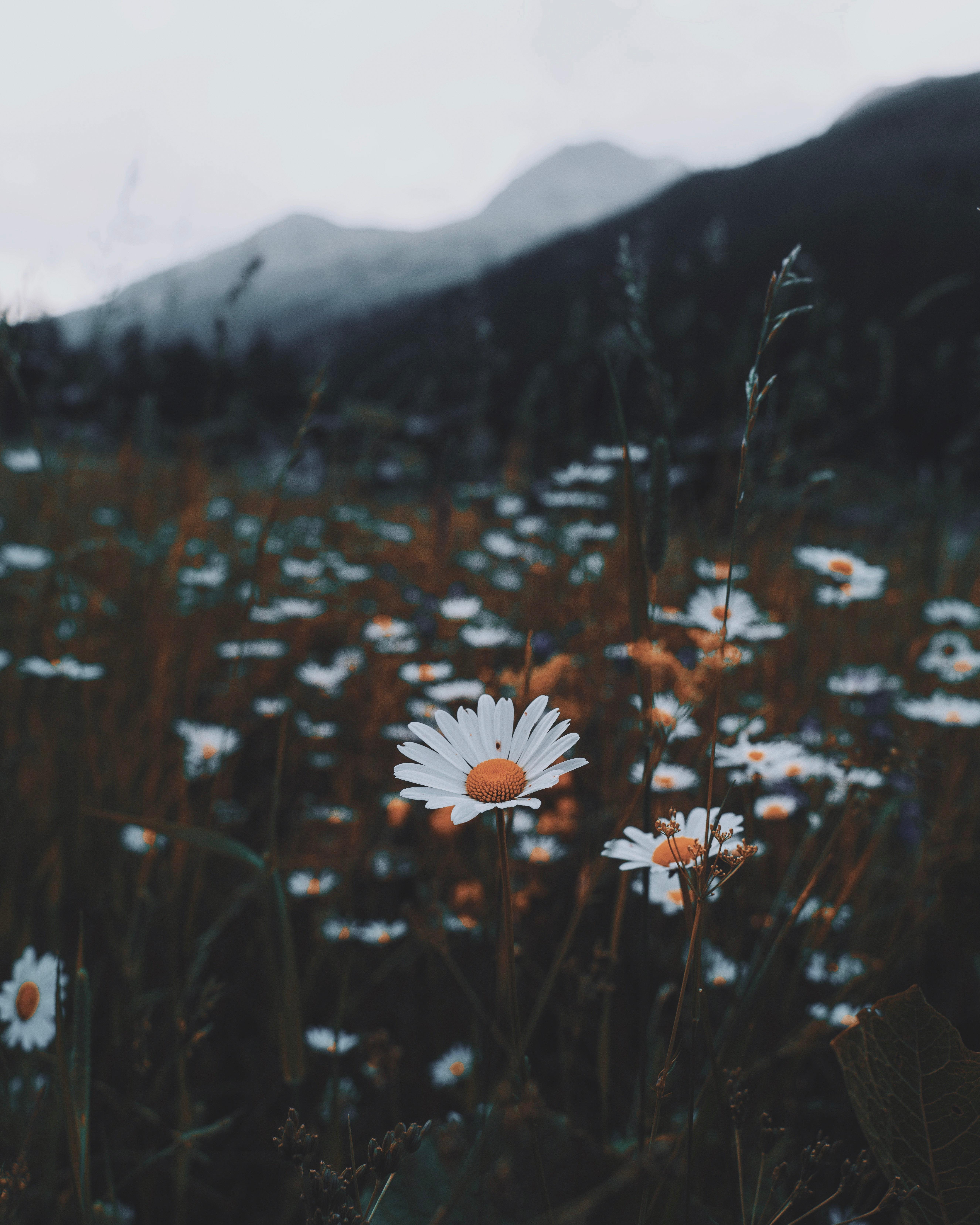 60646 скачать обои Ромашки, Природа, Цветы, Трава, Дикий - заставки и картинки бесплатно