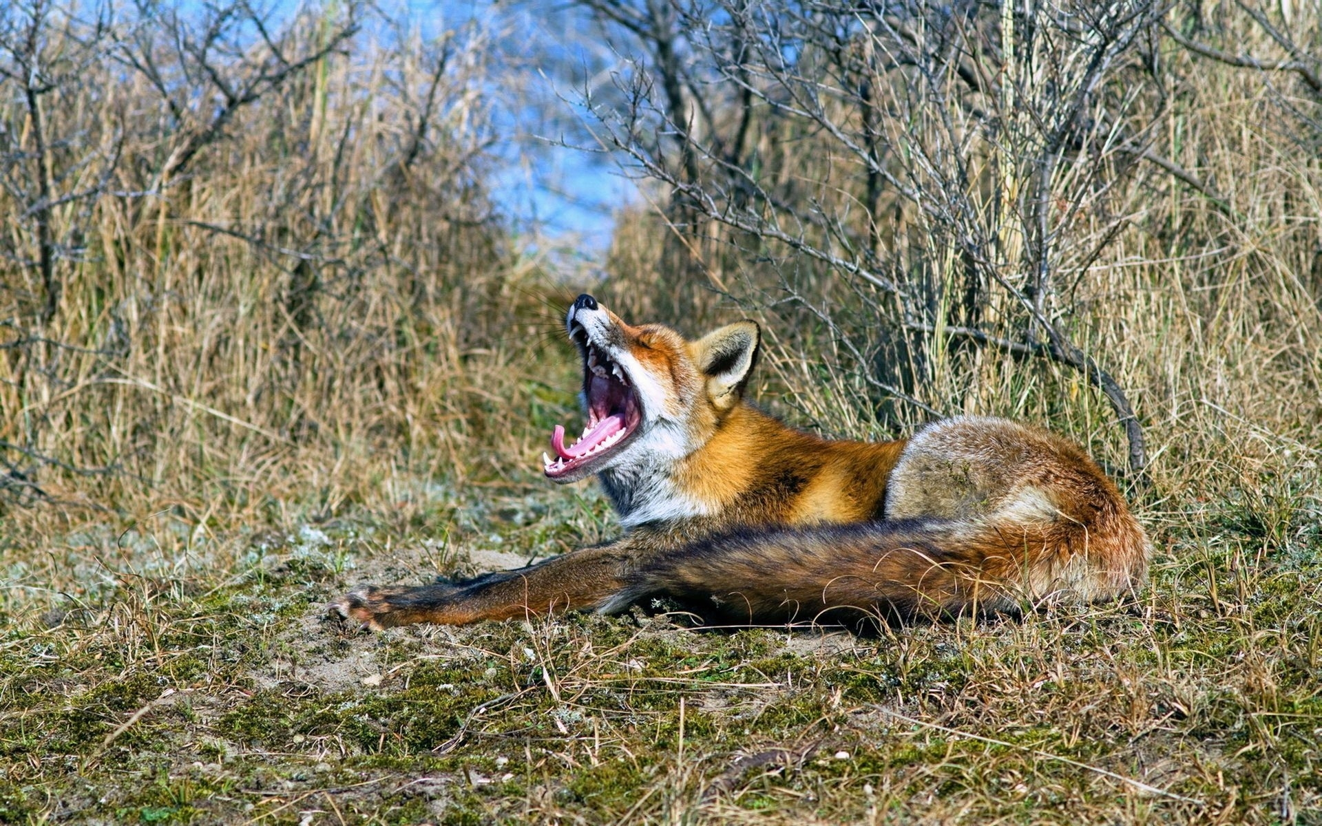 25605 download wallpaper Animals, Fox screensavers and pictures for free