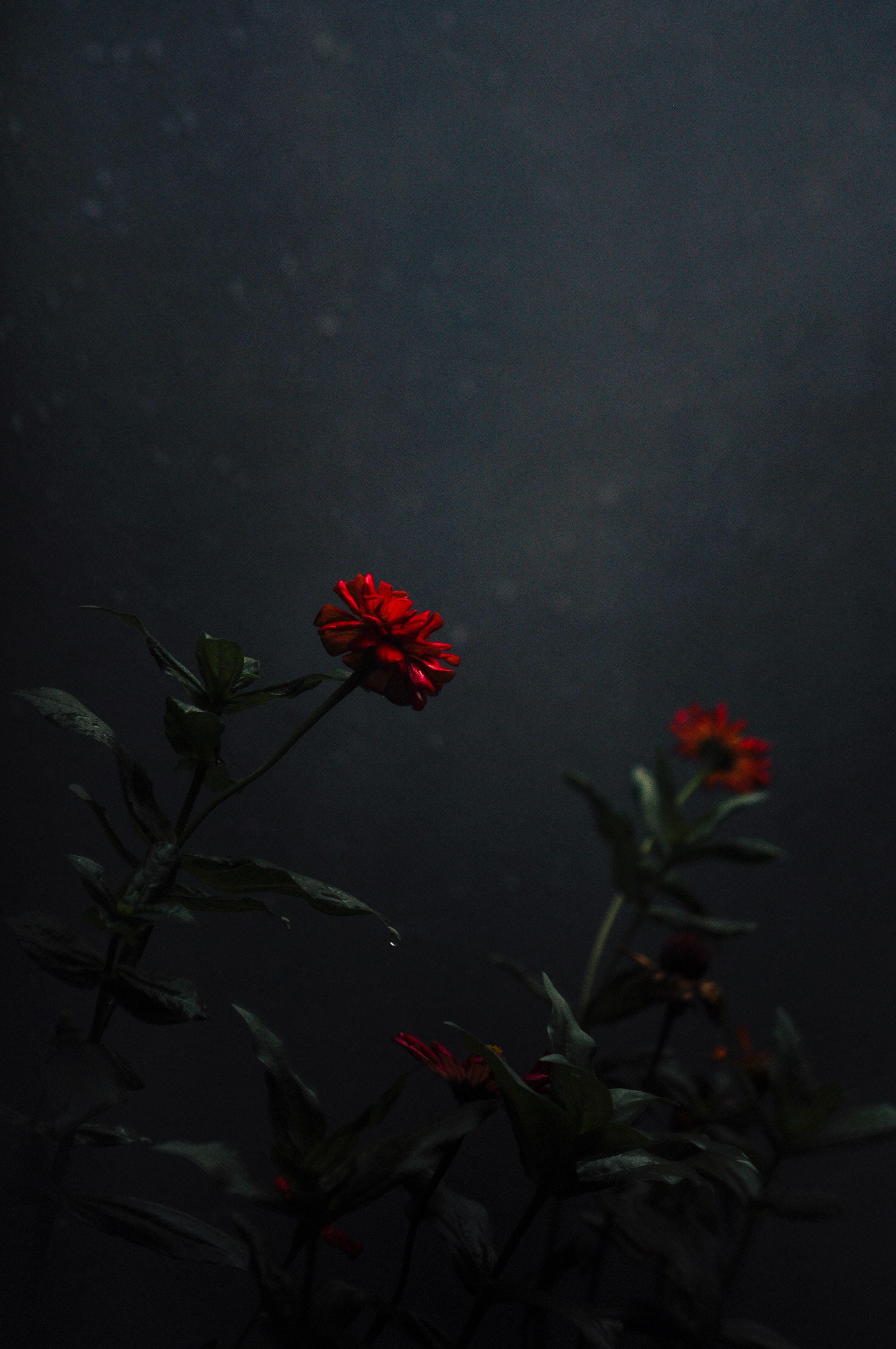 80904 baixar papel de parede Flores, Flor, Bud, Botão, Escuro, Tronco, Talo - protetores de tela e imagens gratuitamente