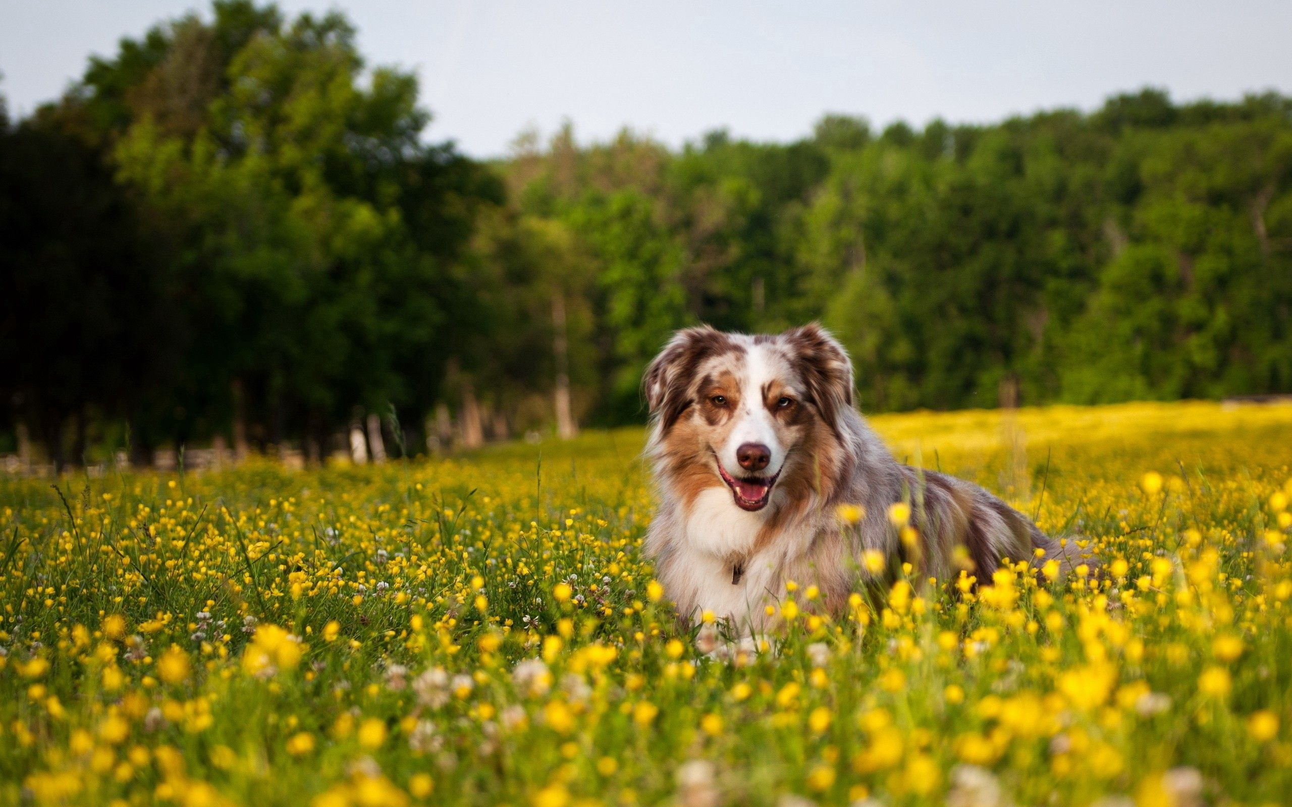 92439 download wallpaper Animals, Australian Shepherd, Dog, Sheepdog, Sheep Dog, Grass, To Lie Down, Lie, Flowers screensavers and pictures for free