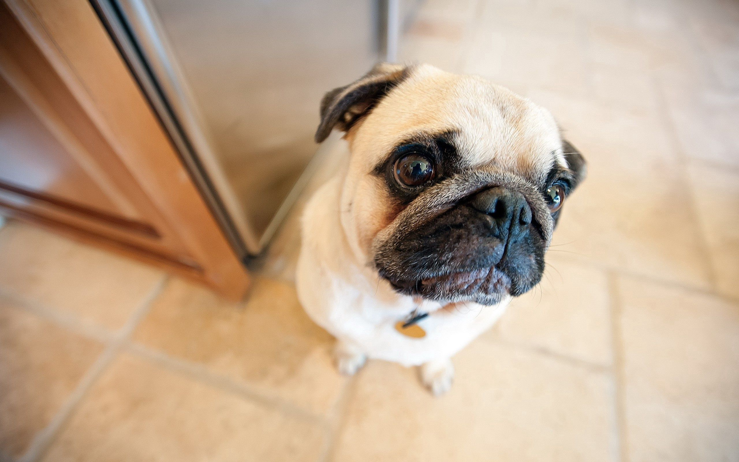 131058 download wallpaper Animals, Pug, Muzzle, Dog, Sight, Opinion screensavers and pictures for free