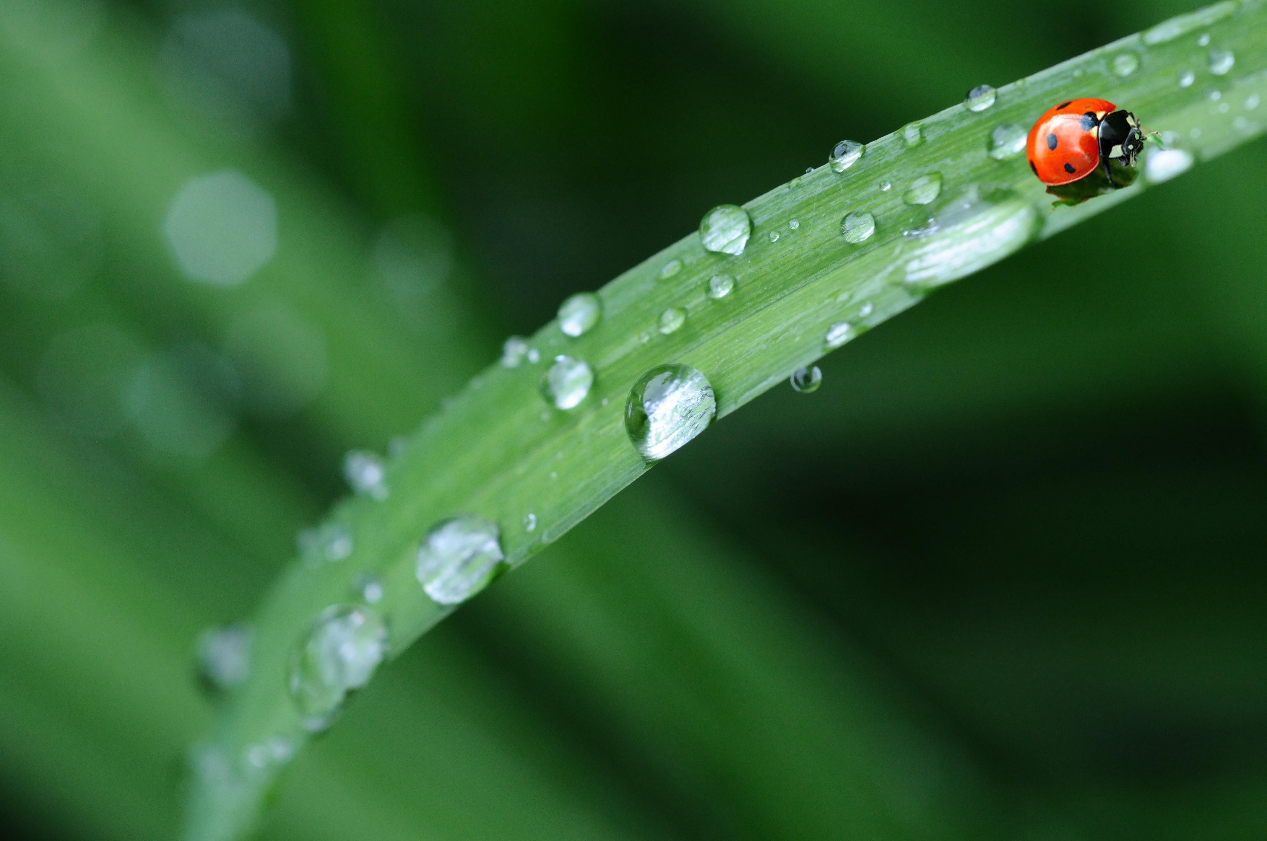 53707 Hintergrundbild herunterladen Grass, Marienkäfer, Drops, Makro, Blatt, Ladybird - Bildschirmschoner und Bilder kostenlos
