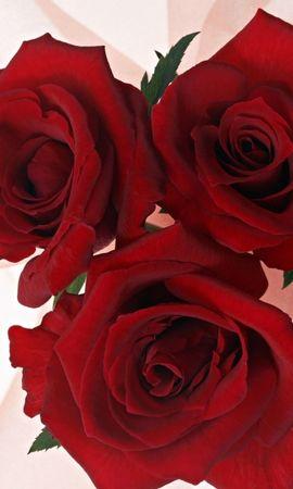 1988 скачать обои Растения, Цветы, Розы - заставки и картинки бесплатно
