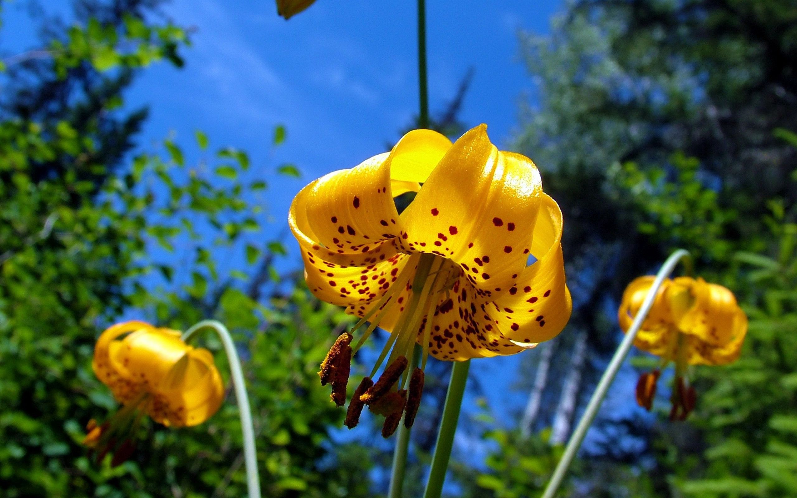 71786 download wallpaper Flower, Lily, Nature, Spotted, Spotty screensavers and pictures for free