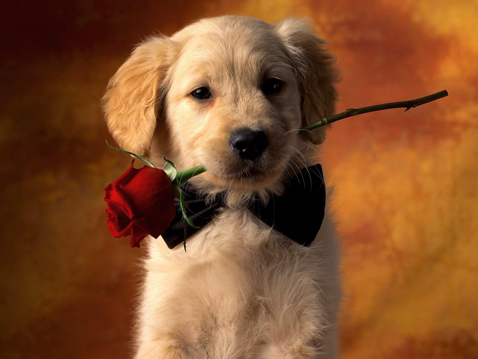 3555 скачать обои Собаки, Открытки, Животные, Розы - заставки и картинки бесплатно