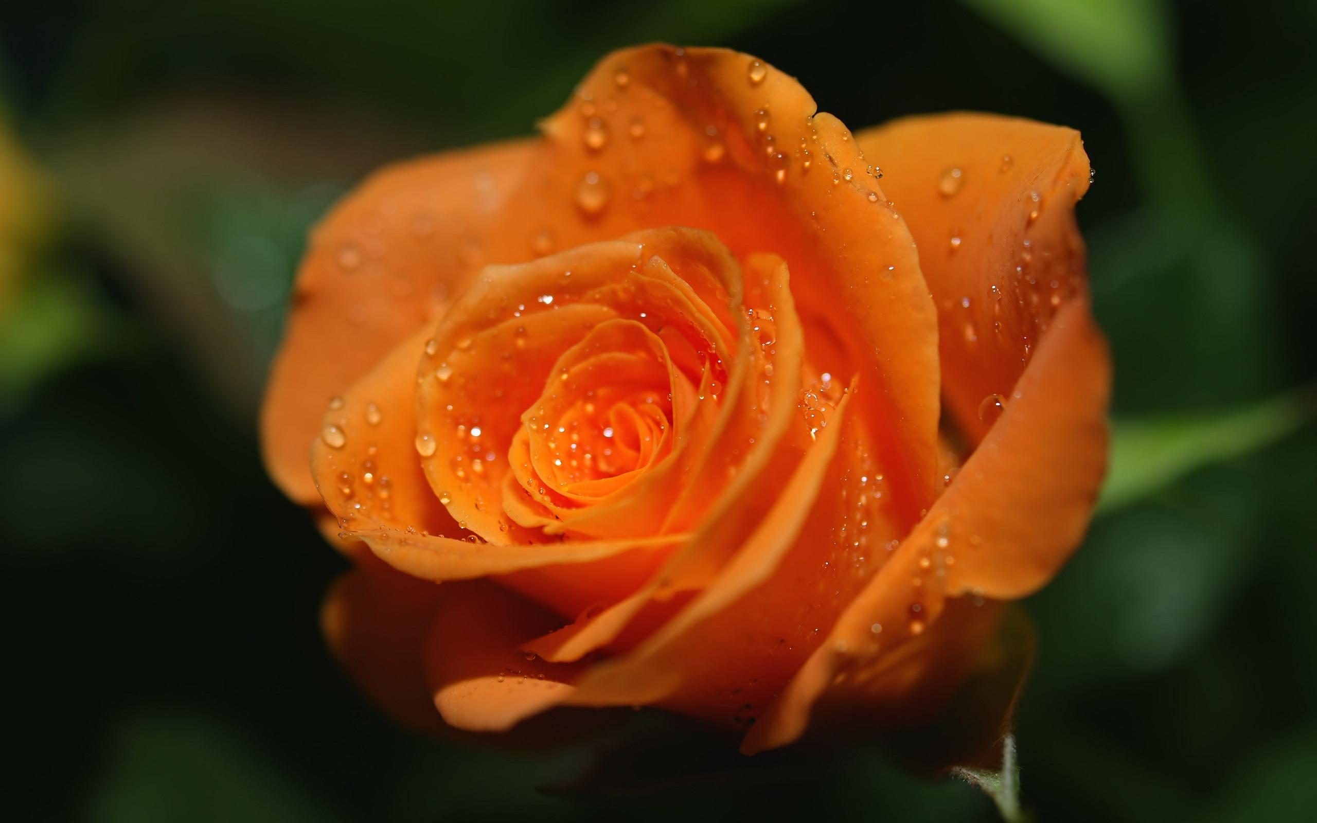 40802 télécharger le fond d'écran Plantes, Fleurs, Roses - économiseurs d'écran et images gratuitement