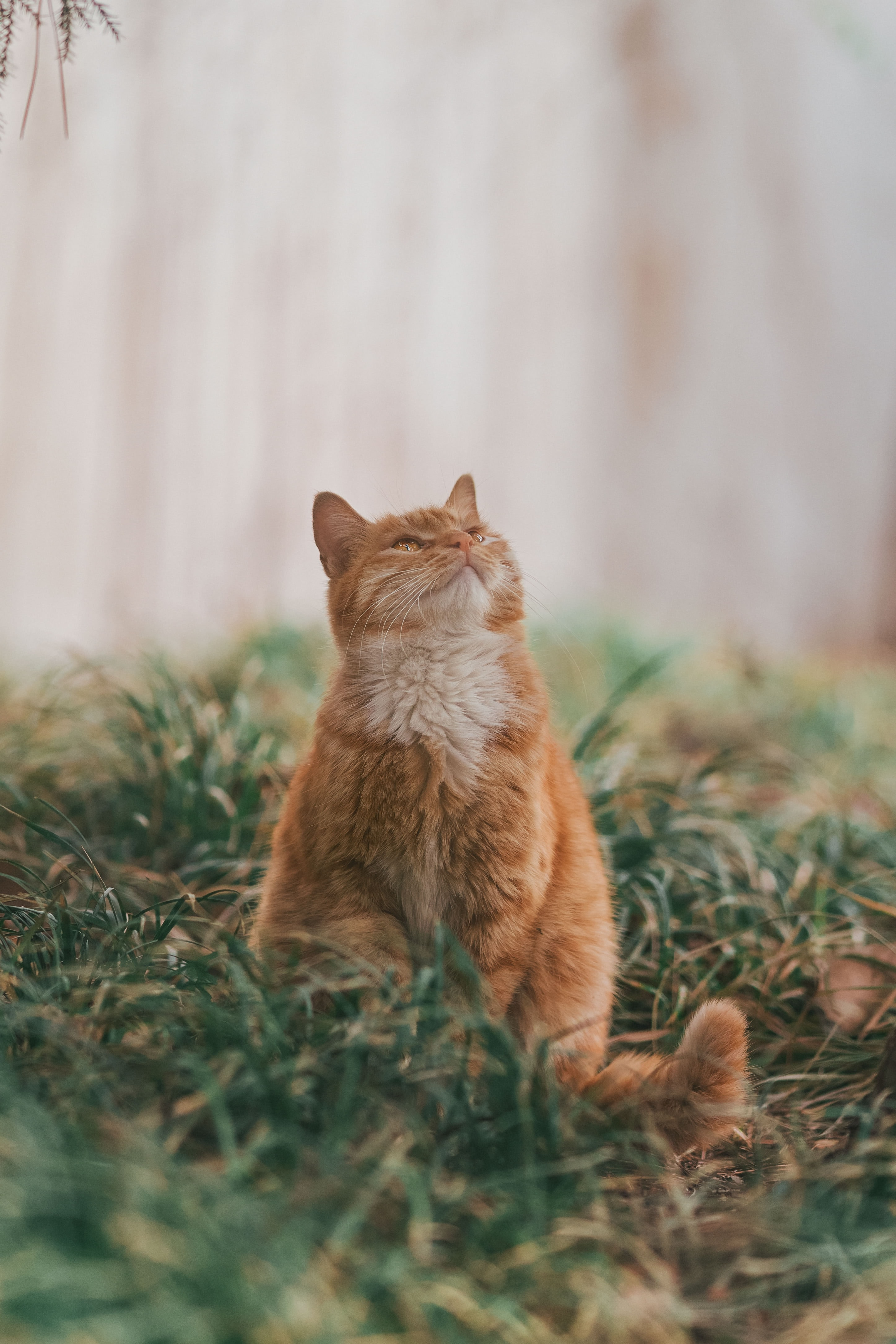 68334 download wallpaper Animals, Cat, Pet, Sight, Opinion, Fluffy, Nice, Sweetheart, Grass screensavers and pictures for free