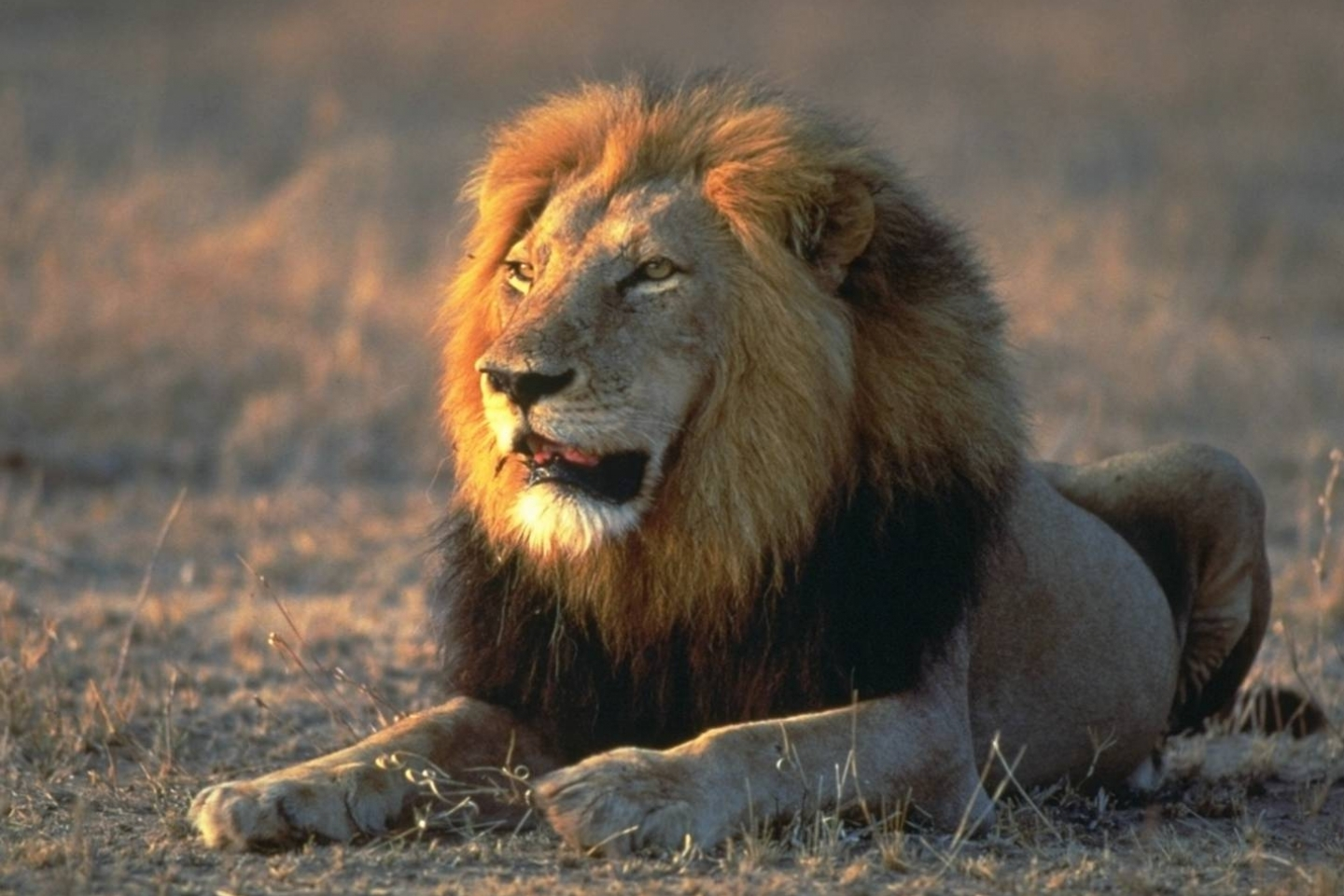678 download wallpaper Animals, Lions screensavers and pictures for free