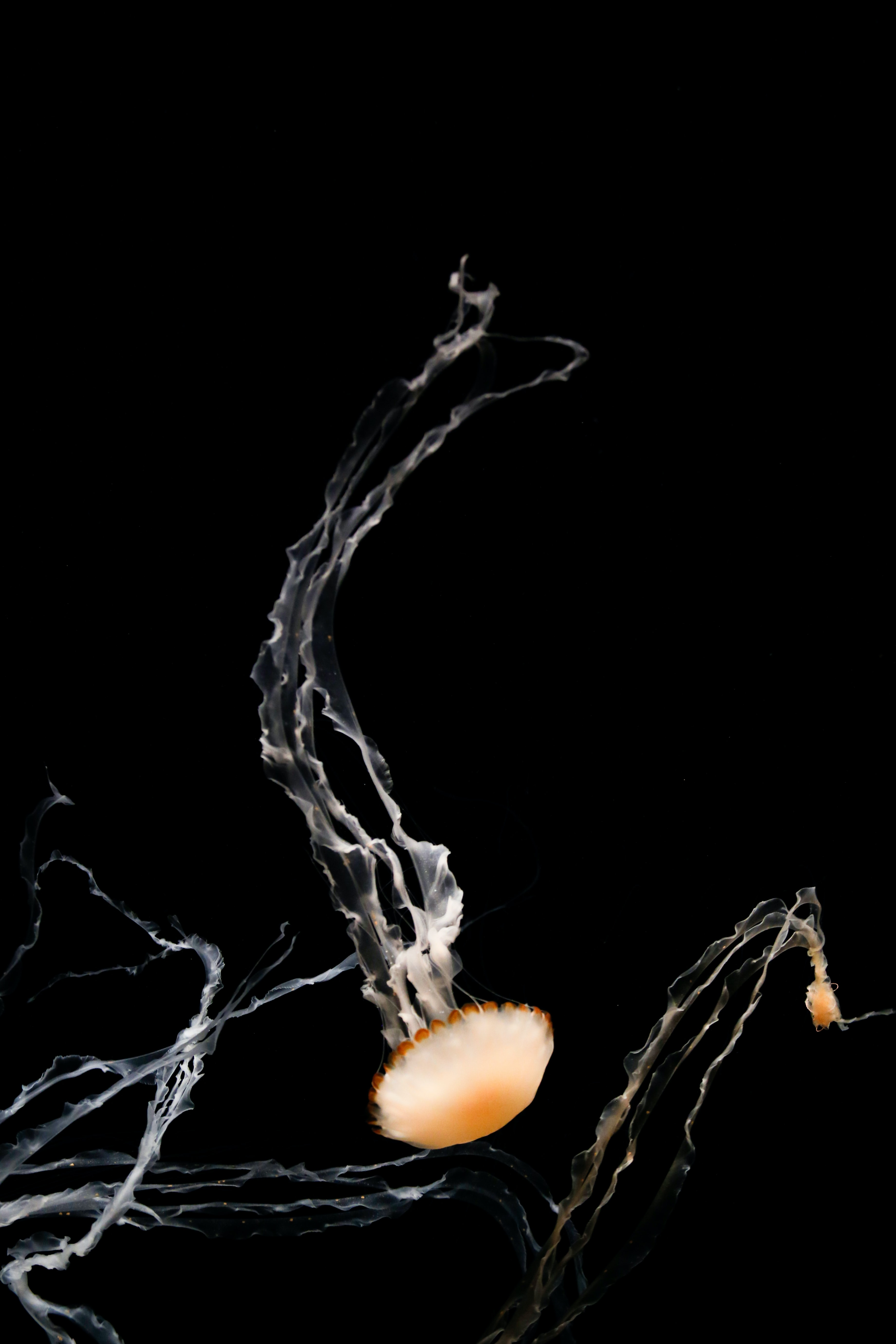 149710 download wallpaper Animals, Tentacles, Creatures, Brown, Under Water, Underwater, Jellyfish screensavers and pictures for free