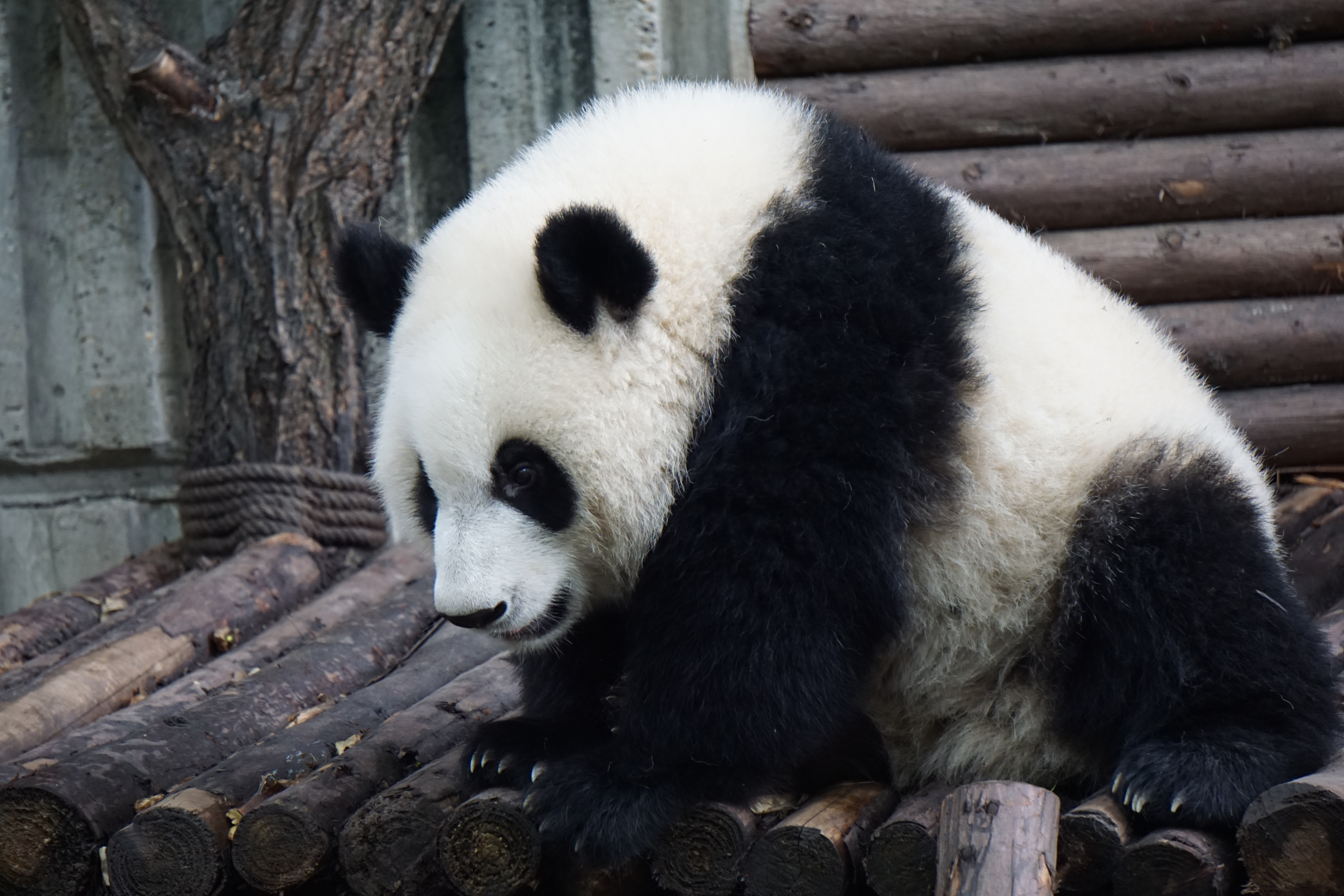 137886 download wallpaper Animals, Panda, Bear, Is Sitting, Sits screensavers and pictures for free