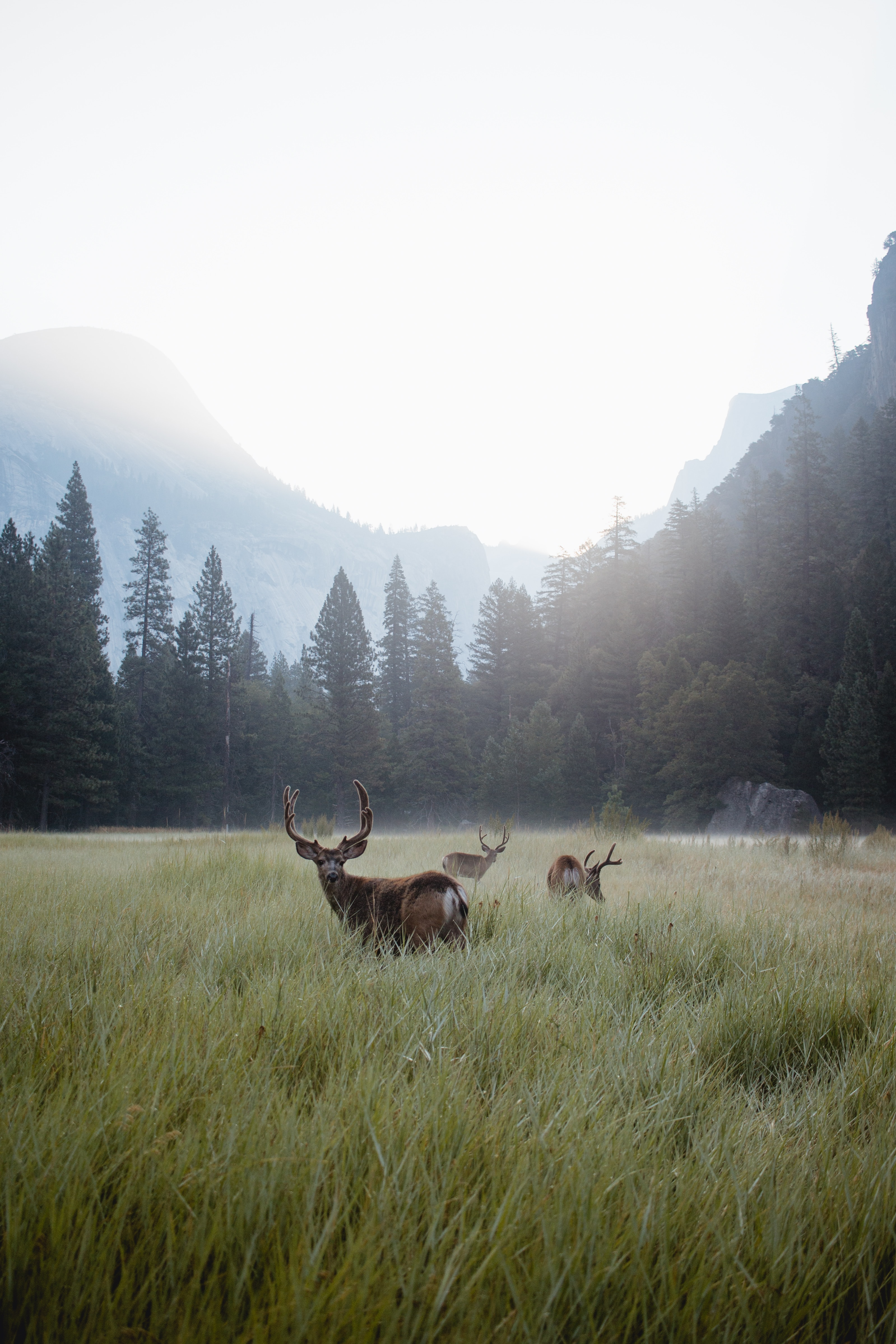 98627 download wallpaper Animals, Deers, Lawn, Forest, Fog, Wildlife, Mountains screensavers and pictures for free