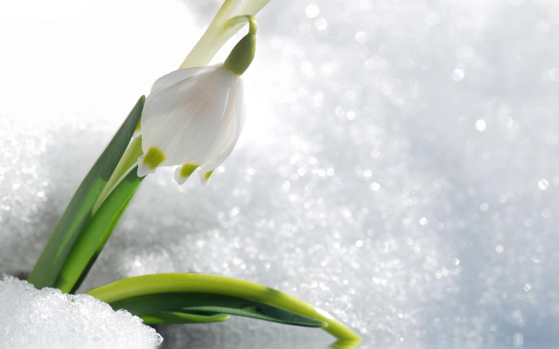17865 скачать обои Растения, Цветы, Подснежники - заставки и картинки бесплатно