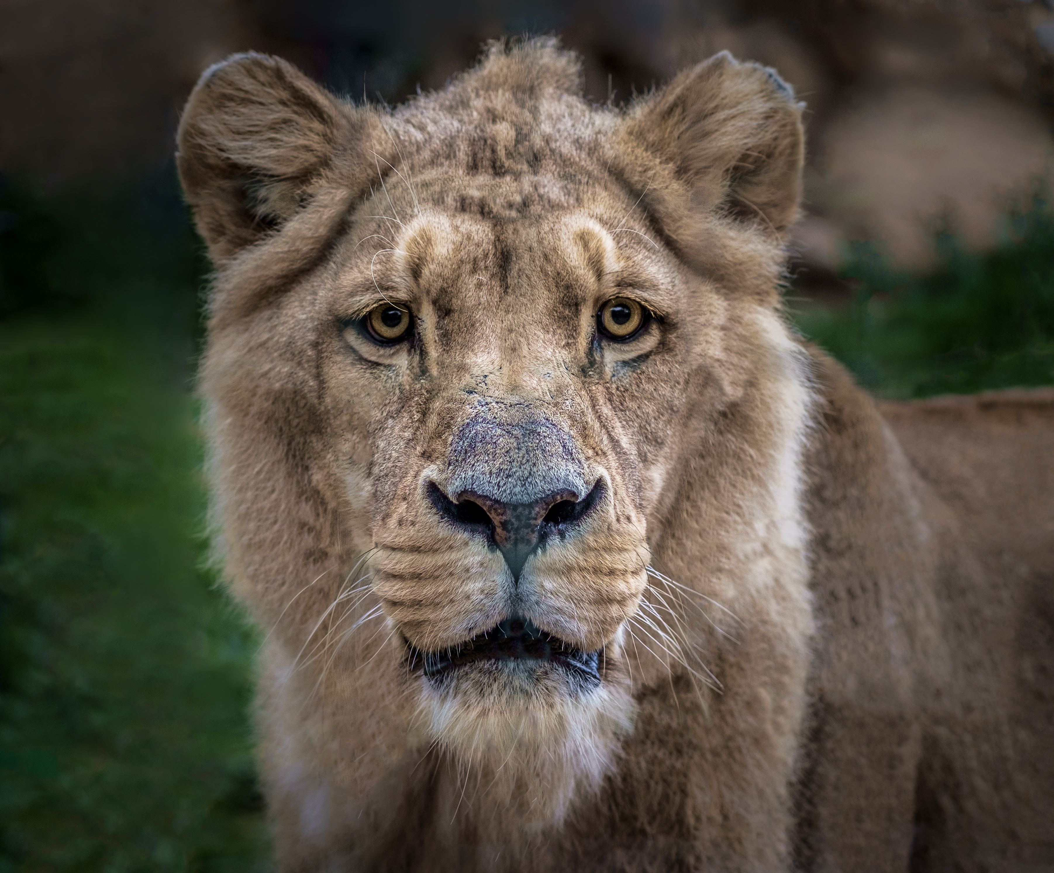 141938 download wallpaper Animals, Lion, Lioness, Muzzle, Predator, Sight, Opinion screensavers and pictures for free