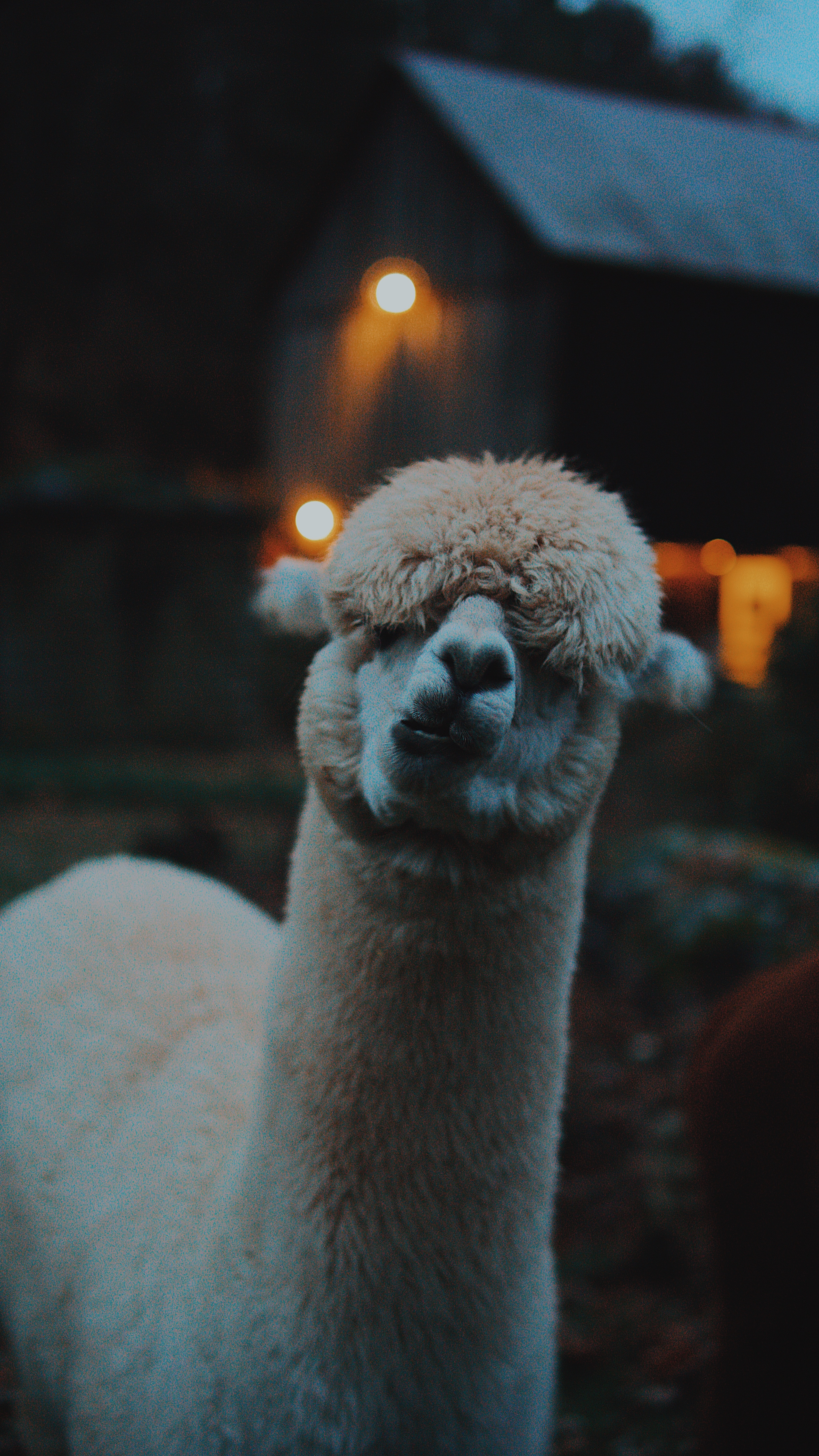 135740 Screensavers and Wallpapers Emotions for phone. Download Funny, Animals, Emotions, Llama, Lama, Camel pictures for free
