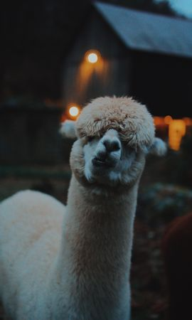 135740 Screensavers and Wallpapers Funny for phone. Download Animals, Llama, Lama, Funny, Camel, Emotions pictures for free