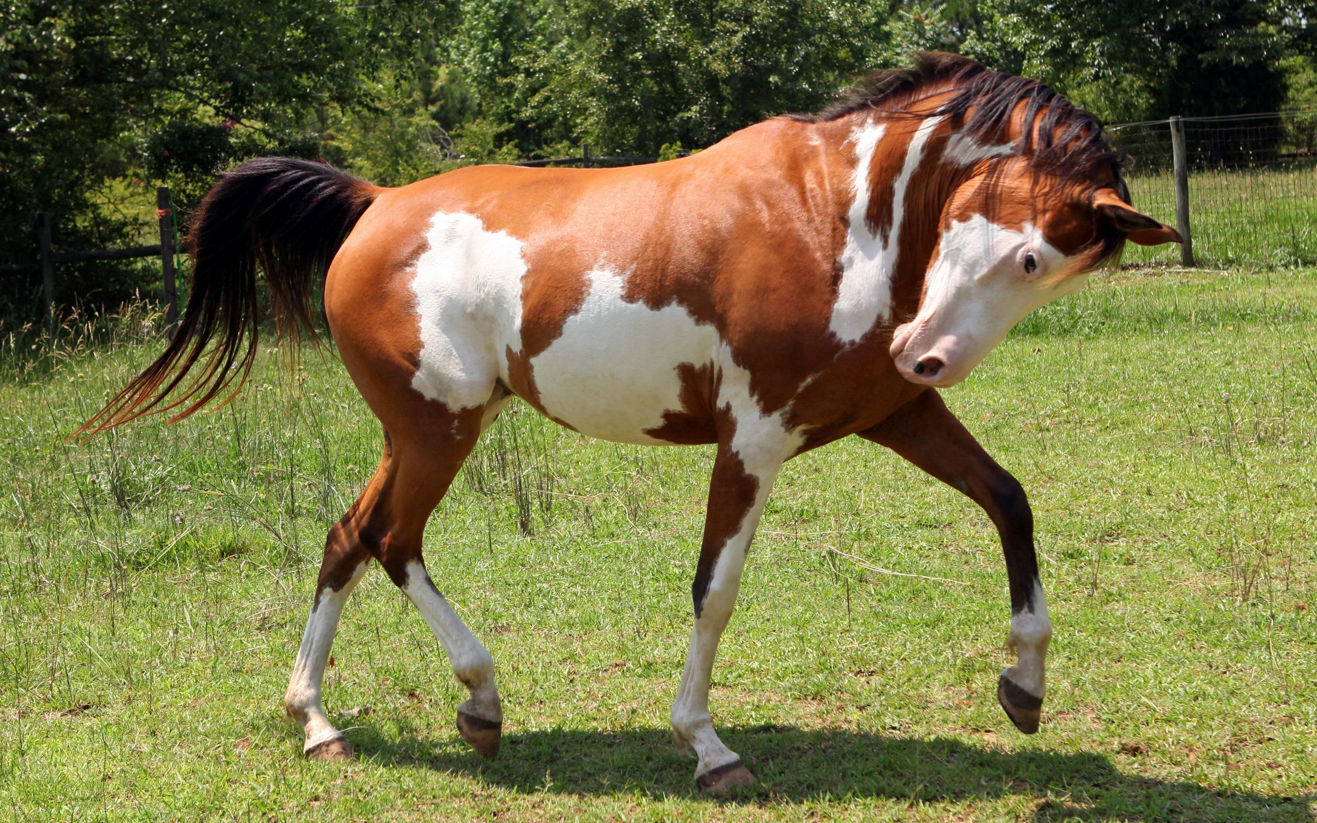 149812 download wallpaper Animals, Horse, Grass, Spotted, Spotty, Stroll screensavers and pictures for free