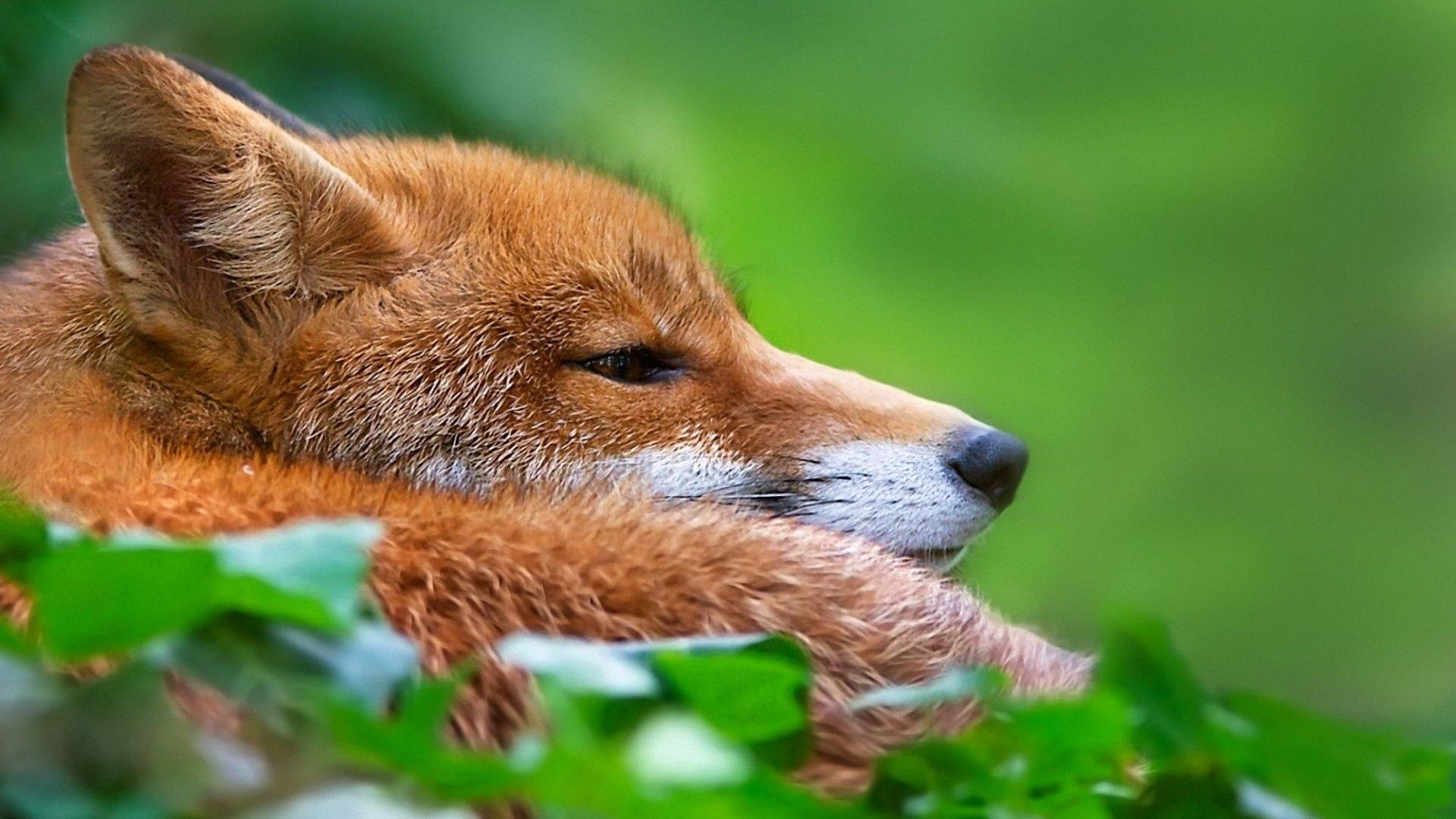 76782 download wallpaper Animals, Fox, Grass, Muzzle, Hunting, Hunt screensavers and pictures for free