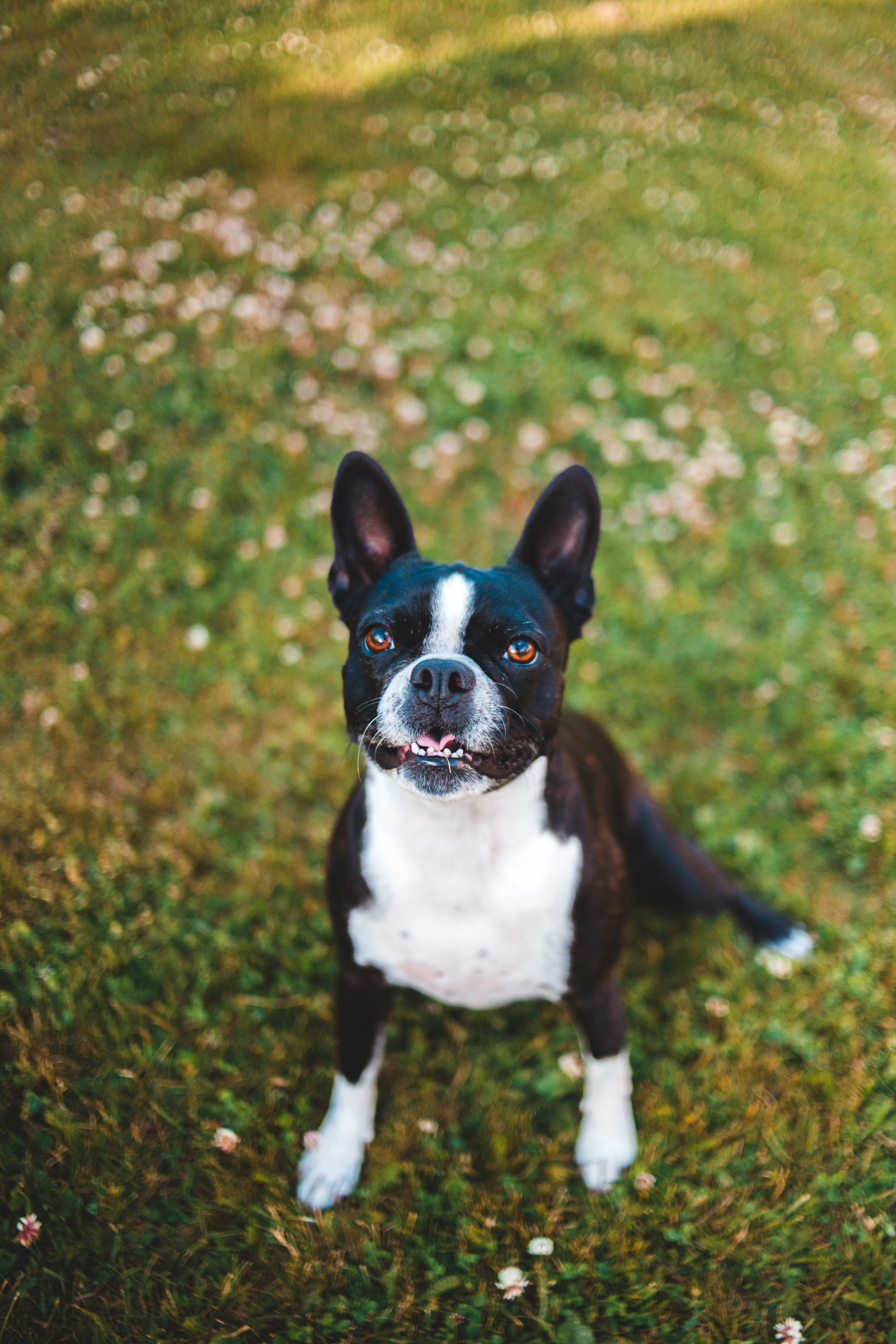 151573 download wallpaper Animals, French Bulldog, Dog, Protruding Tongue, Tongue Stuck Out, Pet screensavers and pictures for free