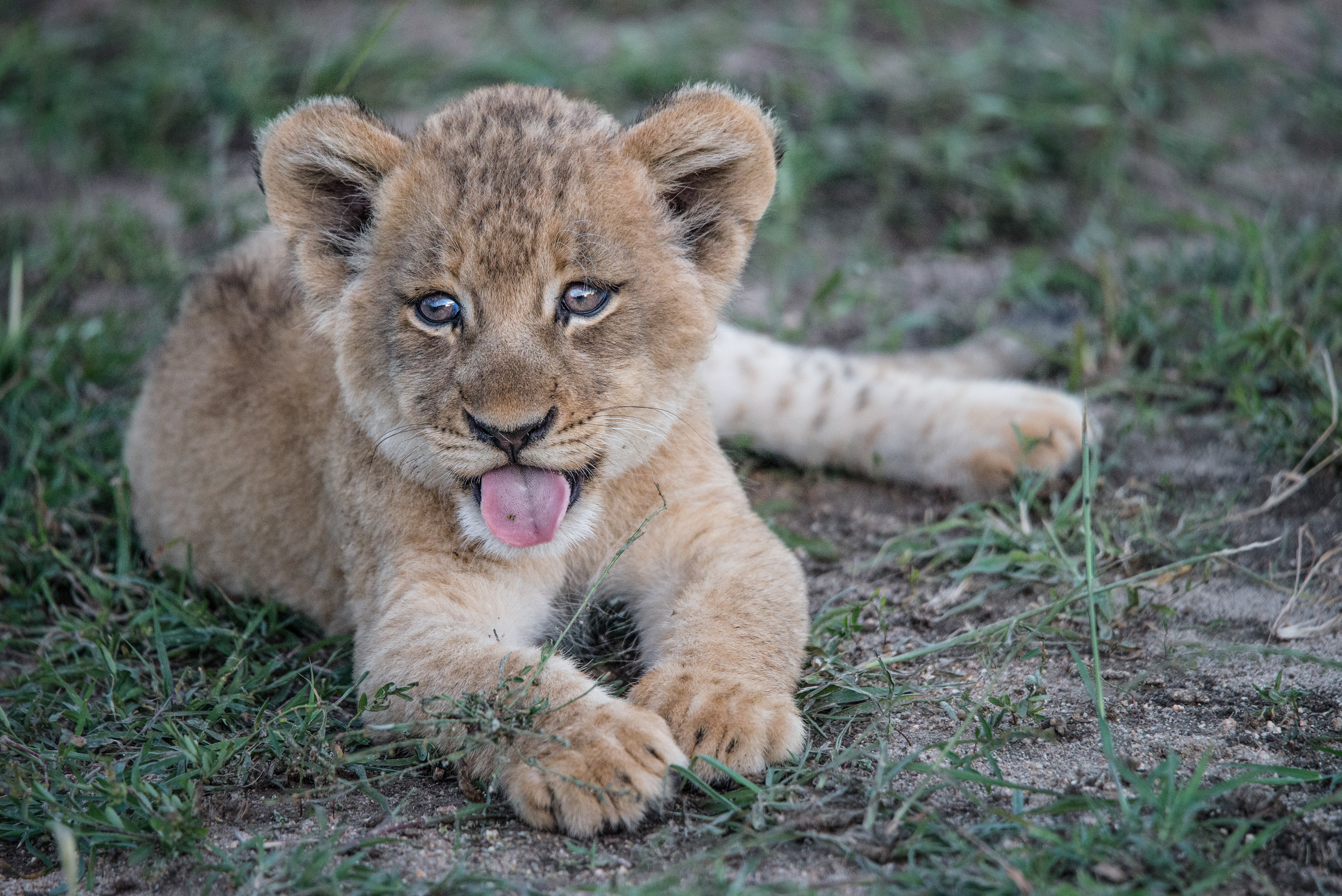 76640 download wallpaper Animals, Lion Cub, Lion, Muzzle, Protruding Tongue, Tongue Stuck Out screensavers and pictures for free