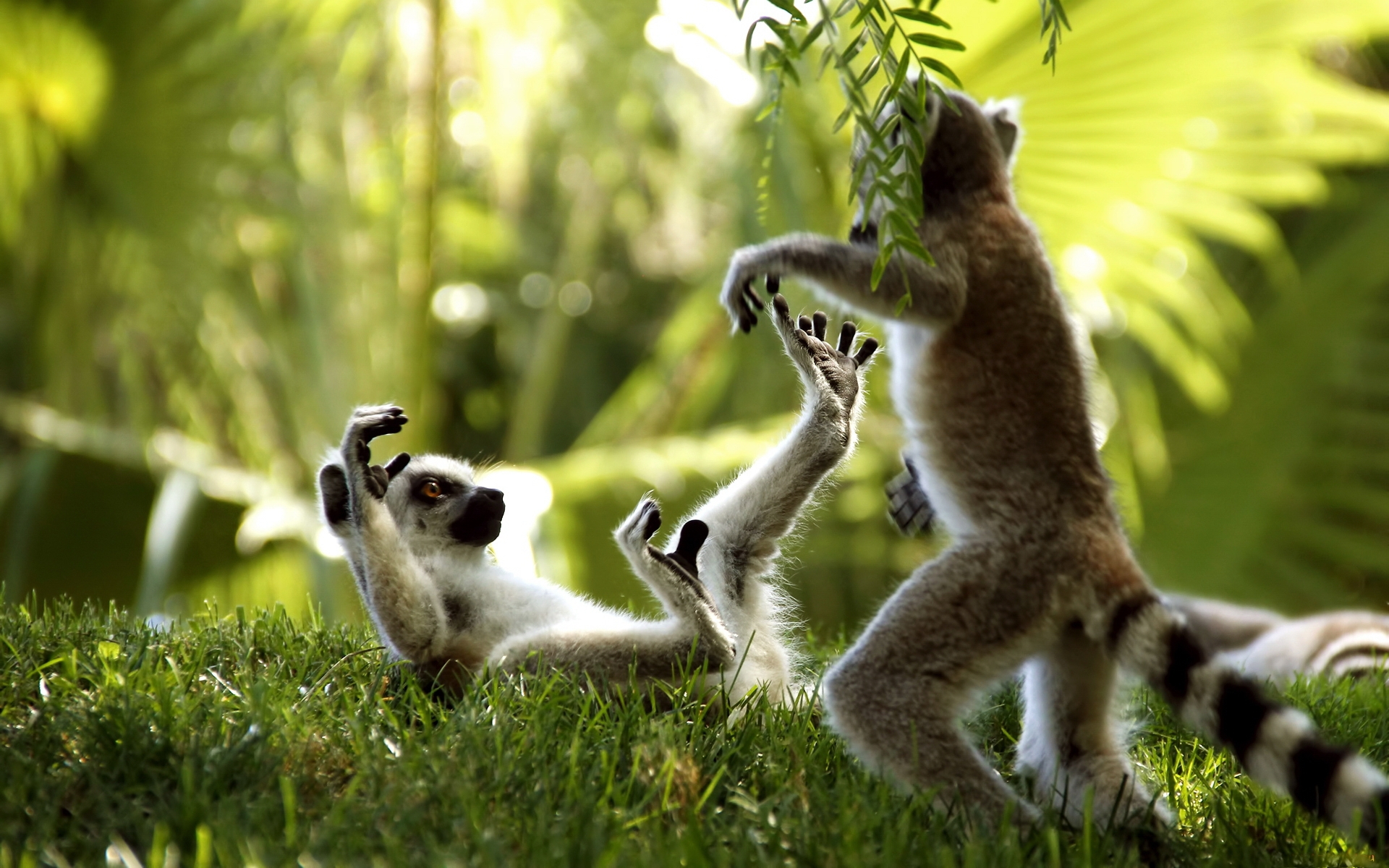36849 Screensavers and Wallpapers Lemurs for phone. Download Animals, Lemurs pictures for free