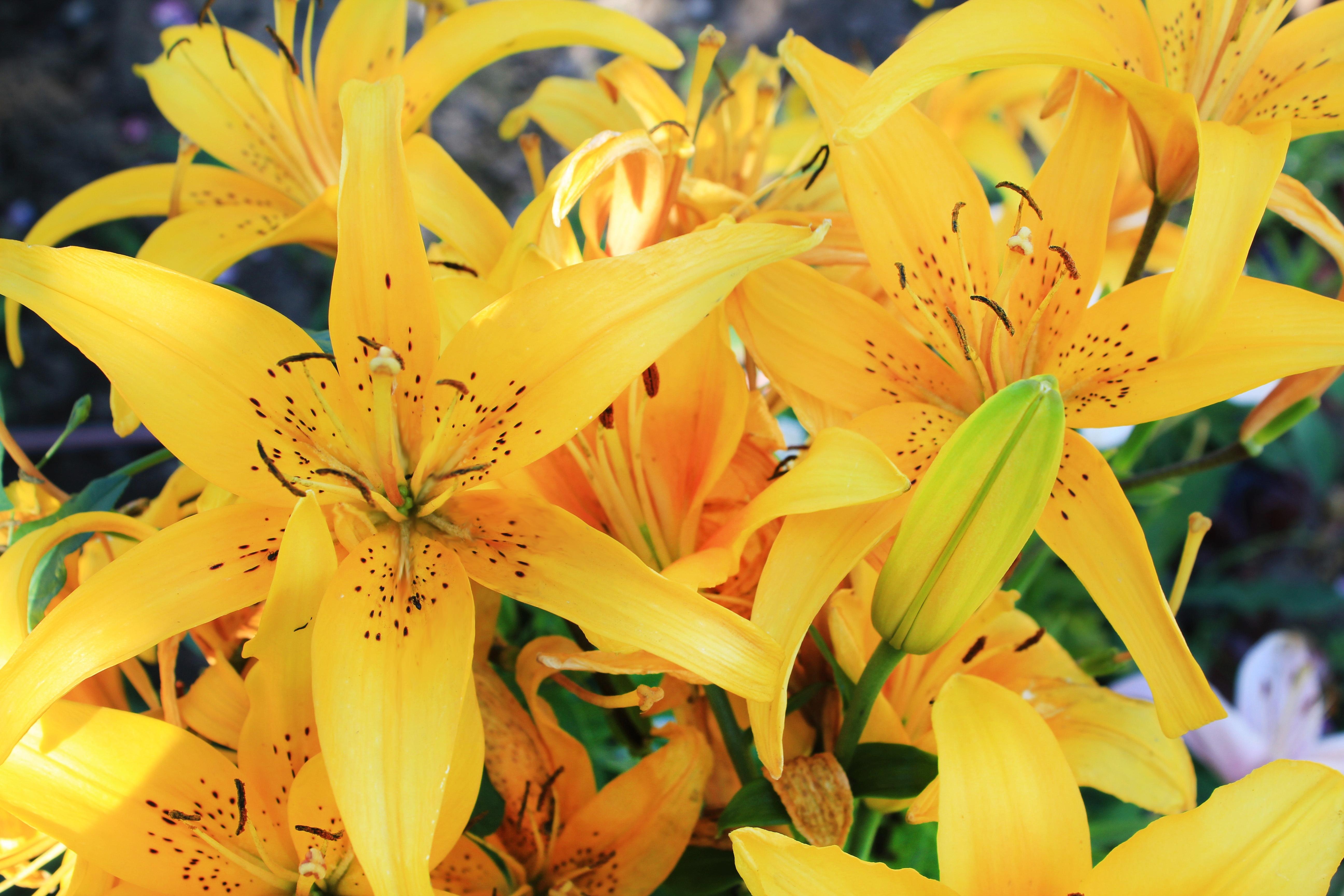 137332 télécharger le fond d'écran Fleurs, Lilies, Bourgeon, Étamines - économiseurs d'écran et images gratuitement