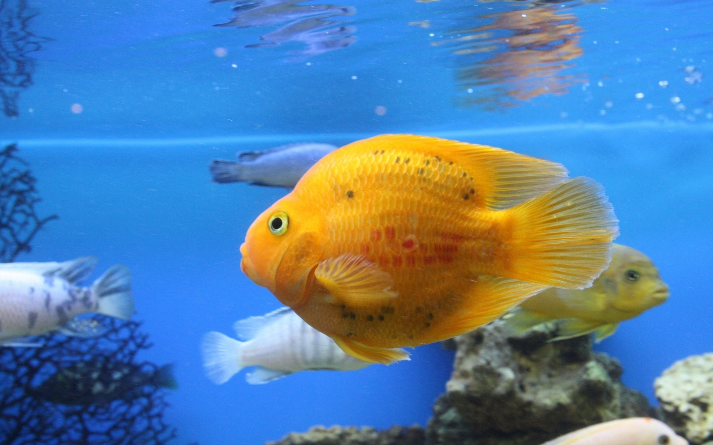35501 download wallpaper Animals, Aquariums, Fishes screensavers and pictures for free
