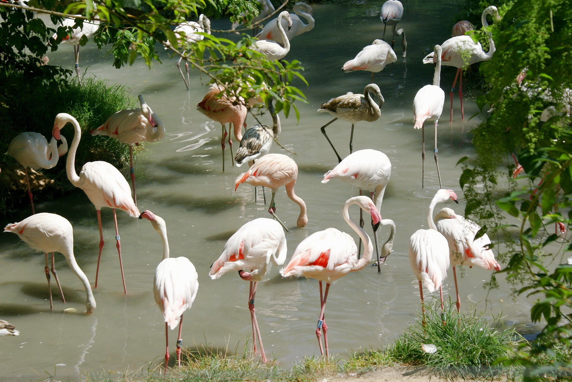 155434 download wallpaper Animals, Flamingo, Lots Of, Multitude, Water, Shore, Bank, Birds screensavers and pictures for free