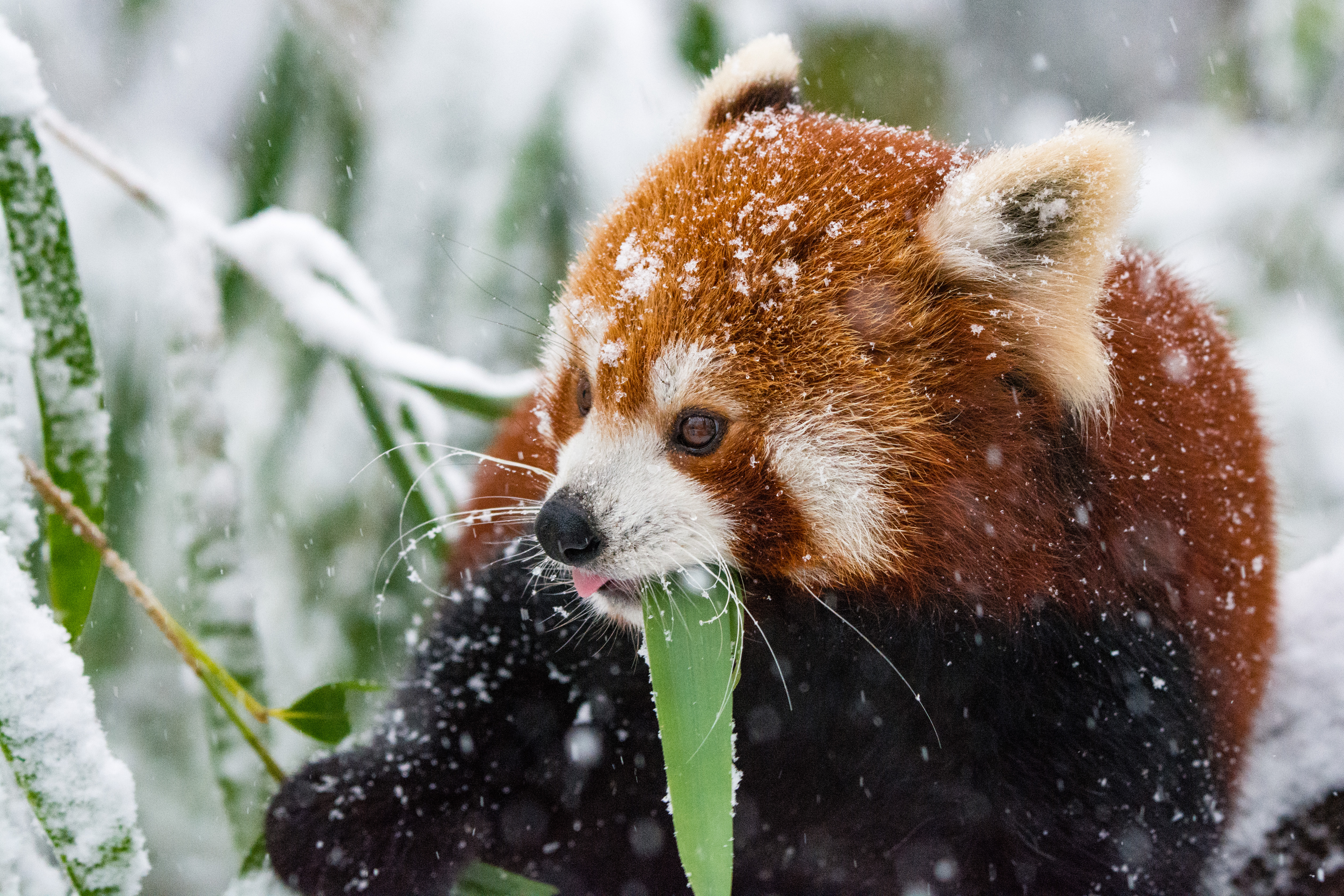 115112 Screensavers and Wallpapers Stroll for phone. Download Animals, Snow, Stroll, Panda, Red Panda pictures for free
