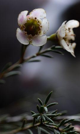 53124 скачать обои Макро, Хамелациум, Стебли, Растение, Цветы - заставки и картинки бесплатно