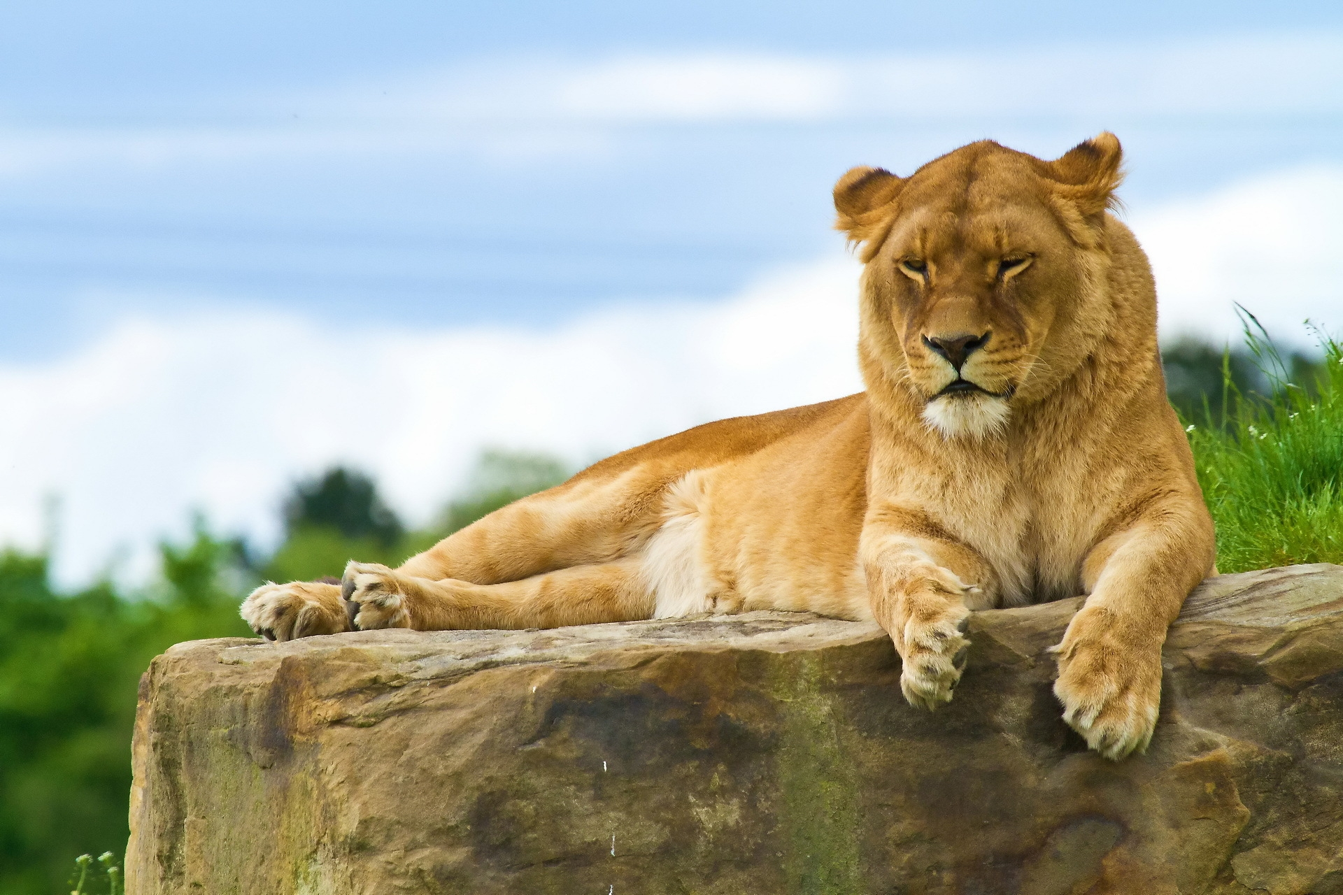 151216 download wallpaper Animals, Lion, To Lie Down, Lie, Rock, Stone, Big Cat, Predator screensavers and pictures for free