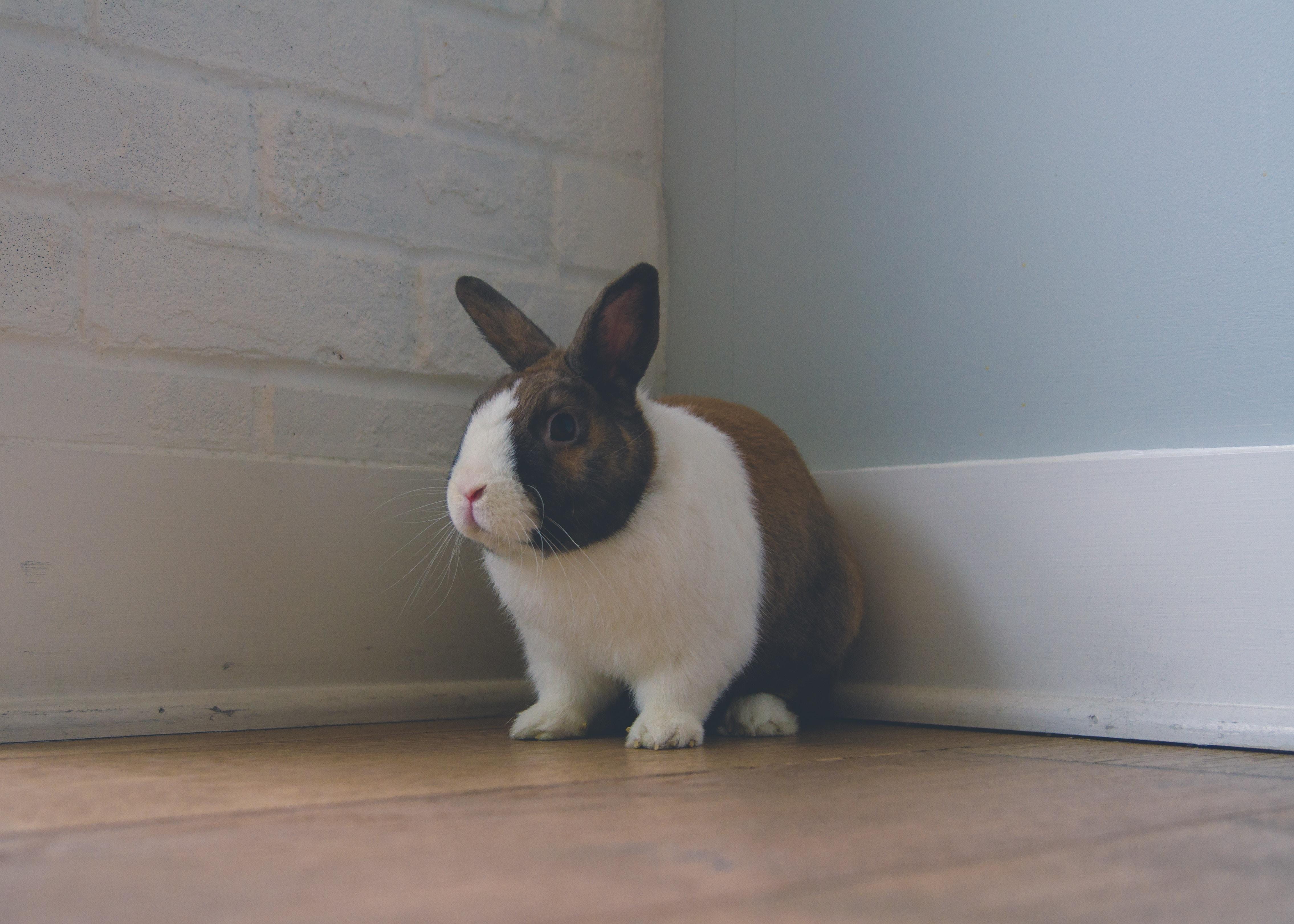 120645 Hintergrundbild herunterladen Kaninchen, Tiere, Nett, Schatz, Ohren - Bildschirmschoner und Bilder kostenlos