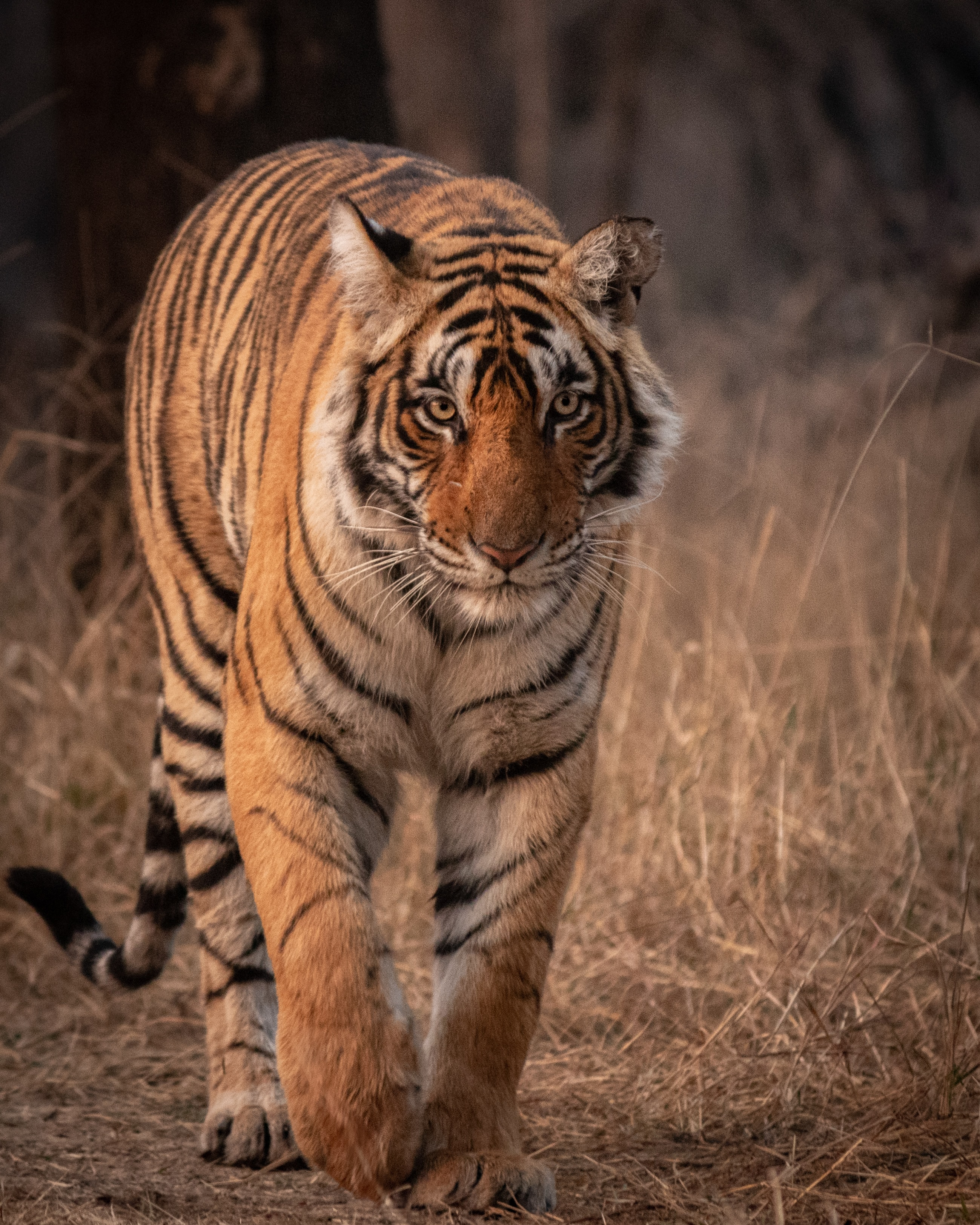 83720 download wallpaper Animals, Tiger, Predator, Animal, Sight, Opinion, Big Cat, Wildlife screensavers and pictures for free