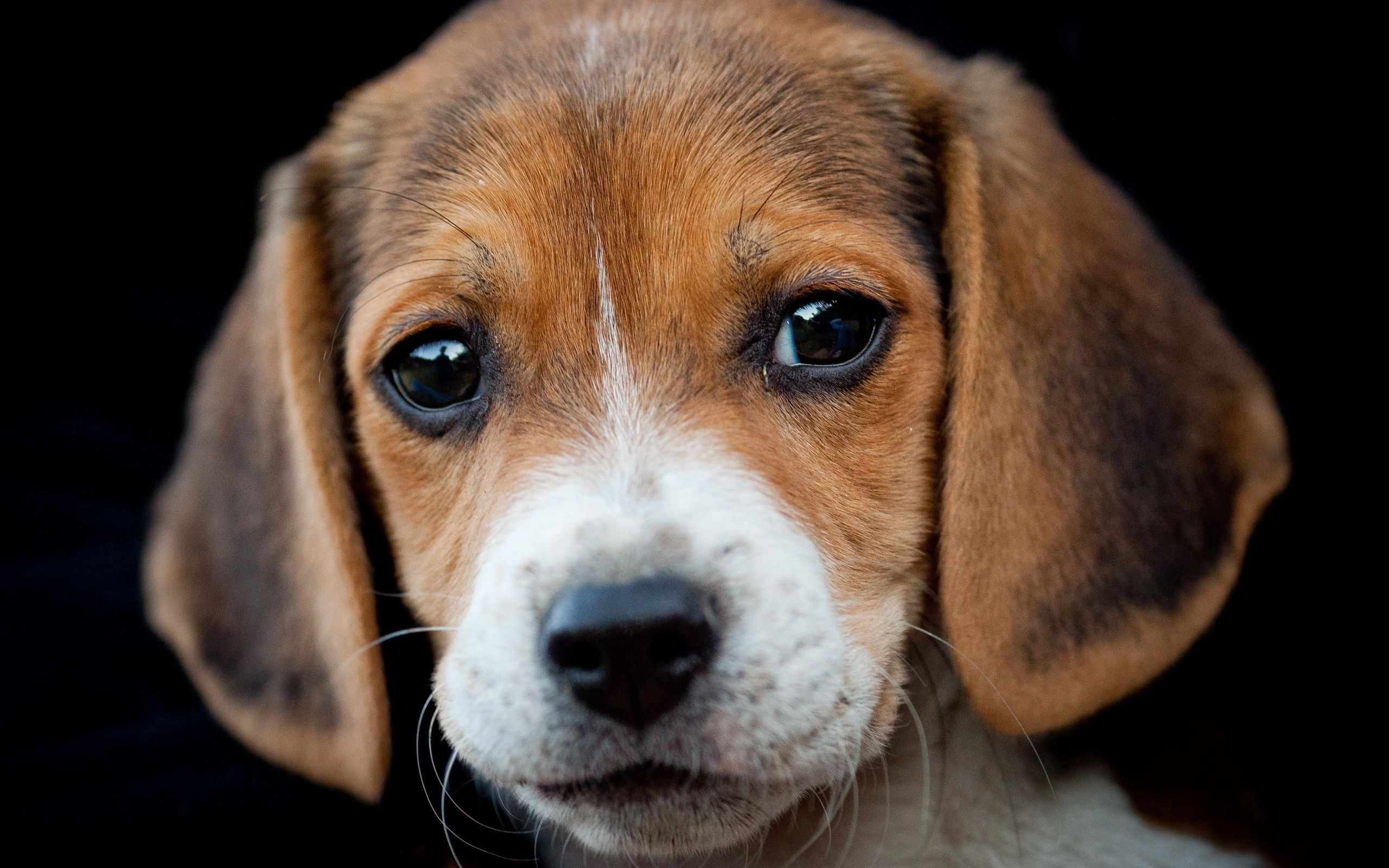 108655 download wallpaper Animals, Dog, Muzzle, Beagle, Sight, Opinion, Puppy screensavers and pictures for free