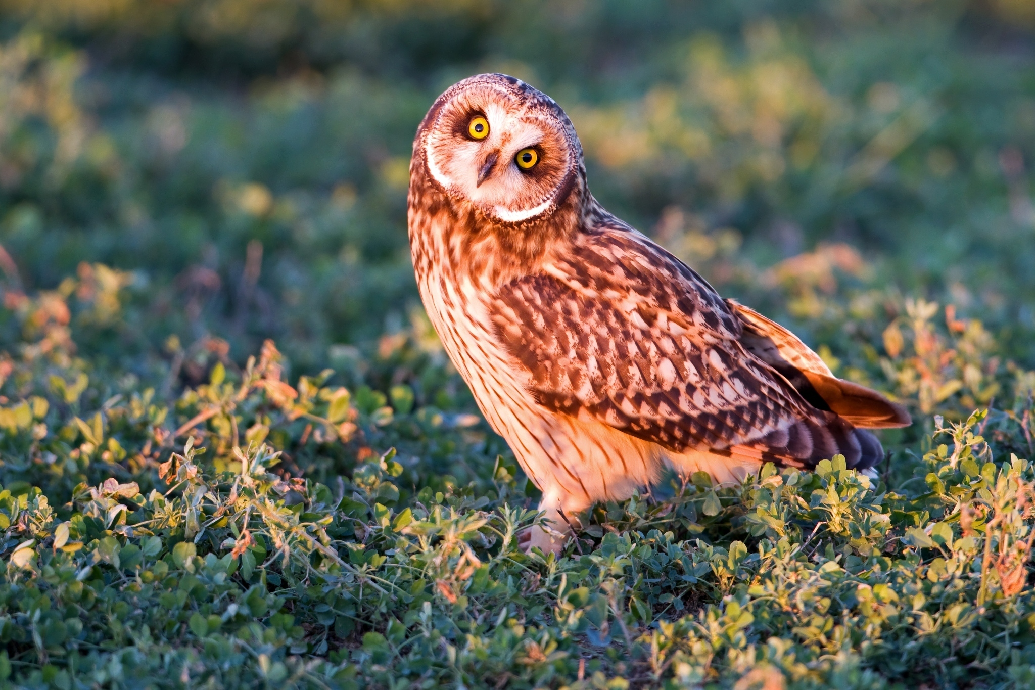70442 Screensavers and Wallpapers Owl for phone. Download Animals, Owl, Bird, Grass, Predator, Sight, Opinion pictures for free