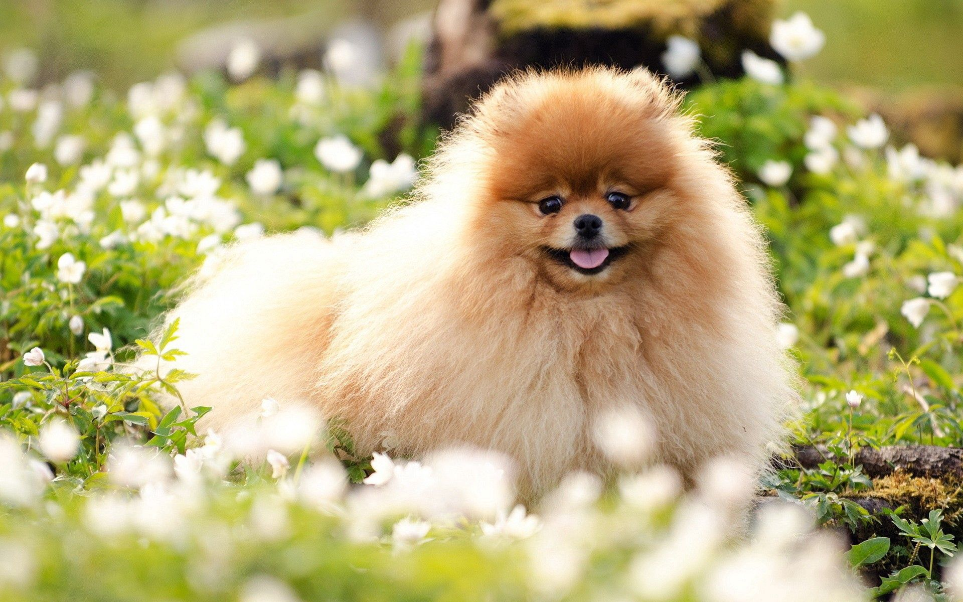 137506 download wallpaper Animals, Dog, Fluffy, Grass, Nice, Sweetheart, Flowers screensavers and pictures for free