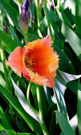 46038 descargar fondo de pantalla Plantas, Flores, Tulipanes: protectores de pantalla e imágenes gratis