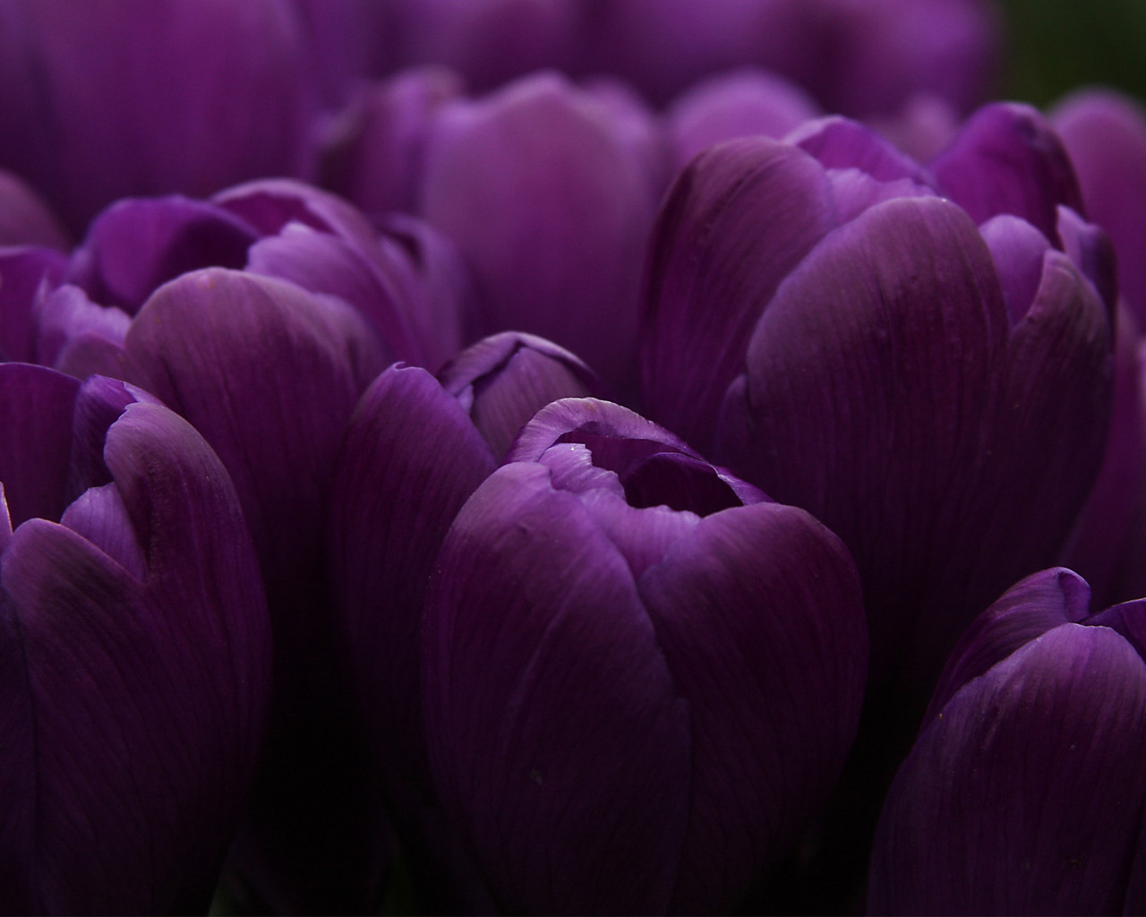 17953 скачать обои Растения, Цветы, Тюльпаны - заставки и картинки бесплатно