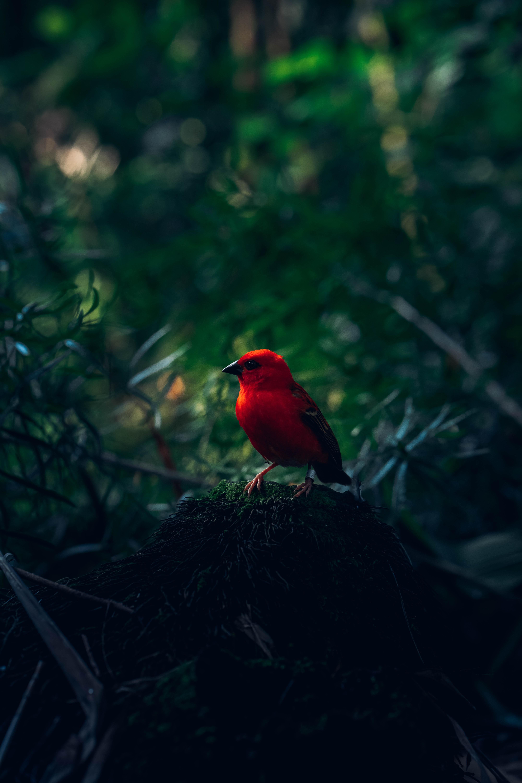 73197 免費下載壁紙 动物, 红色的鸟, 红鸟, 鸟, 明亮的, 明亮, 分行, 分支 屏保和圖片