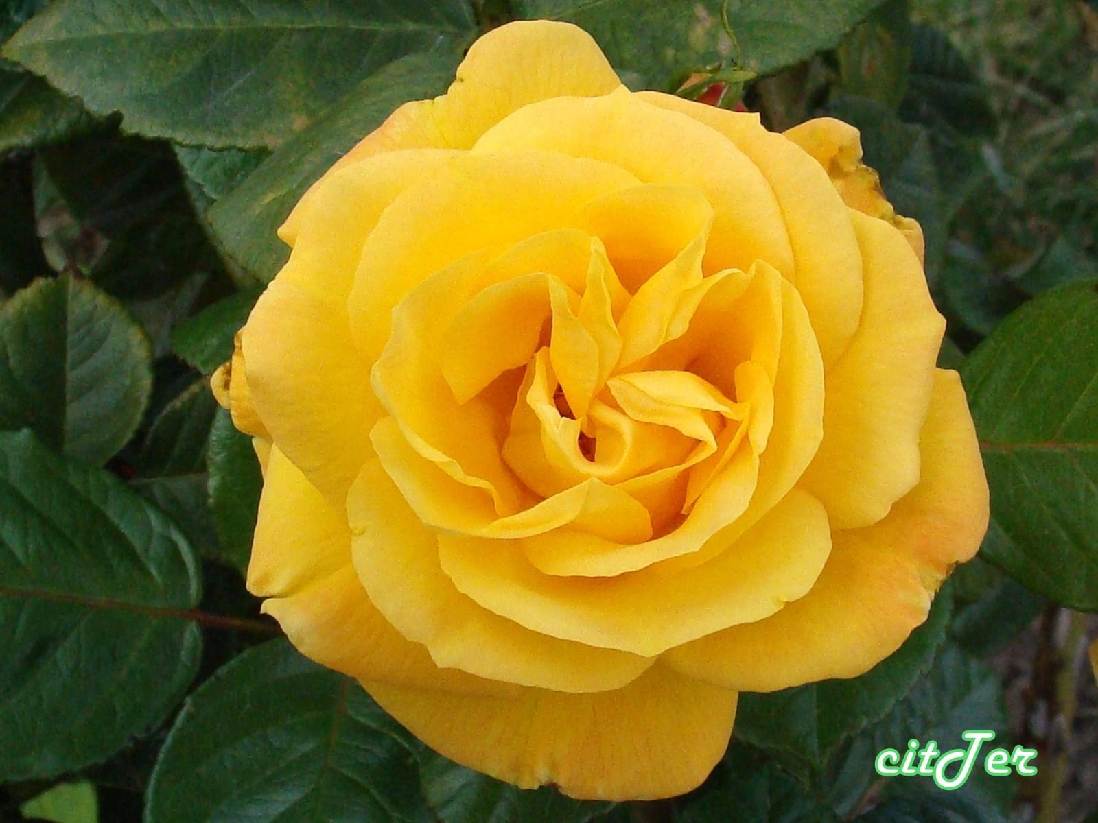 613 скачать обои Растения, Цветы, Розы - заставки и картинки бесплатно