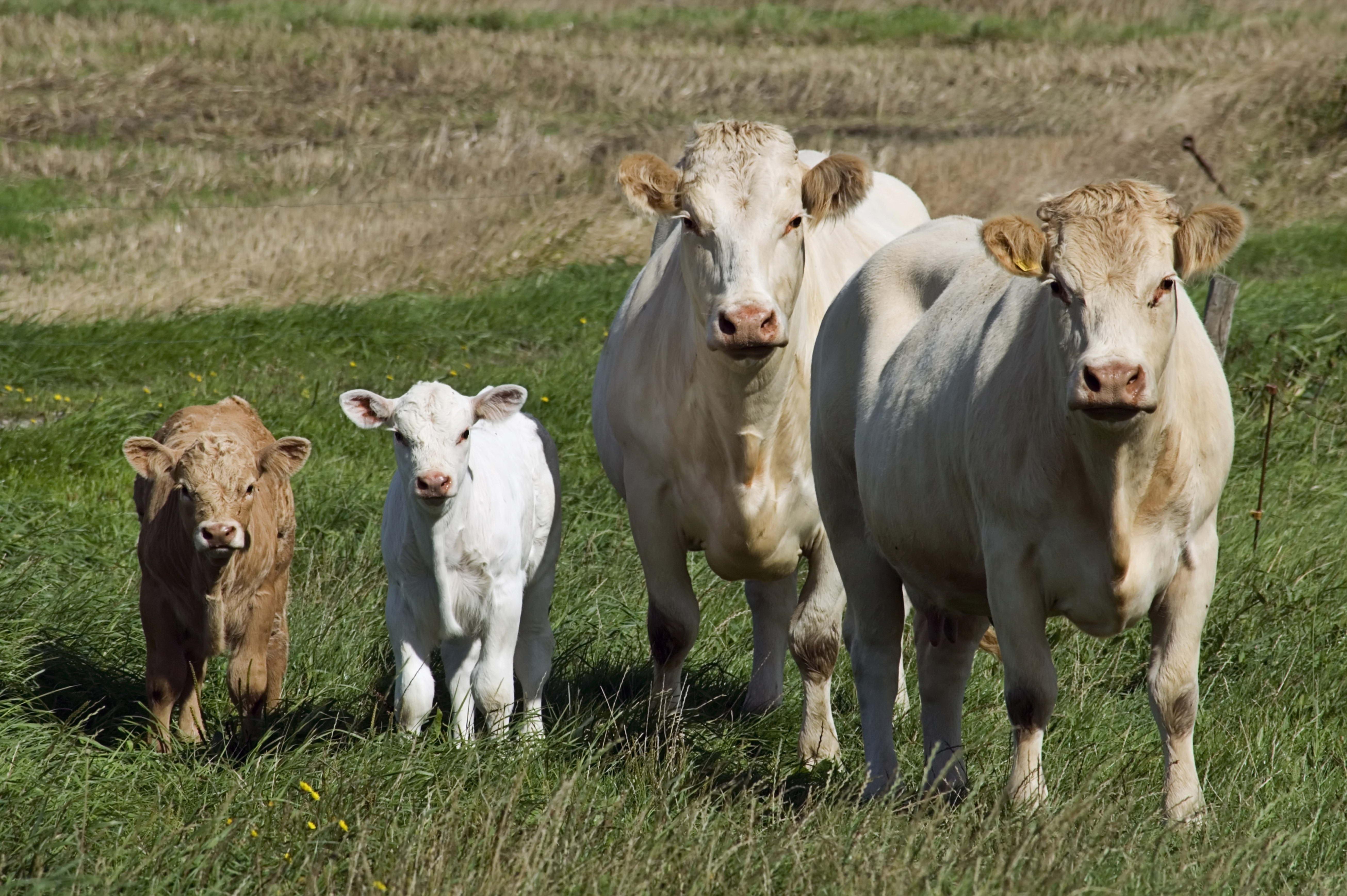 68101 скачать обои Животные, Телята, Трава, Прогулка, Коровы - заставки и картинки бесплатно