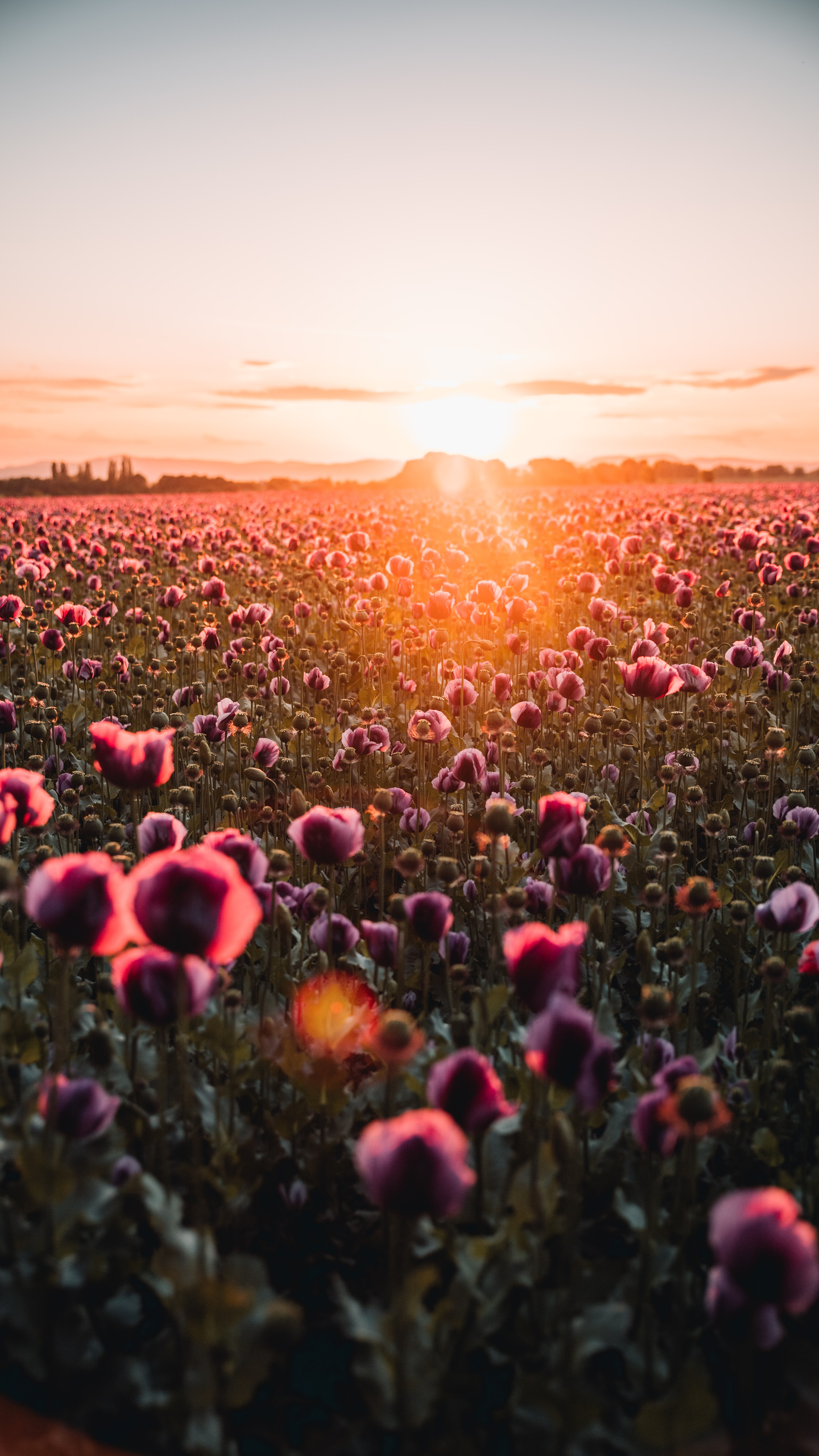 127604 Screensavers and Wallpapers Poppies for phone. Download Flowers, Sunset, Poppies, Beams, Rays, Dahl, Distance, Wildflowers pictures for free