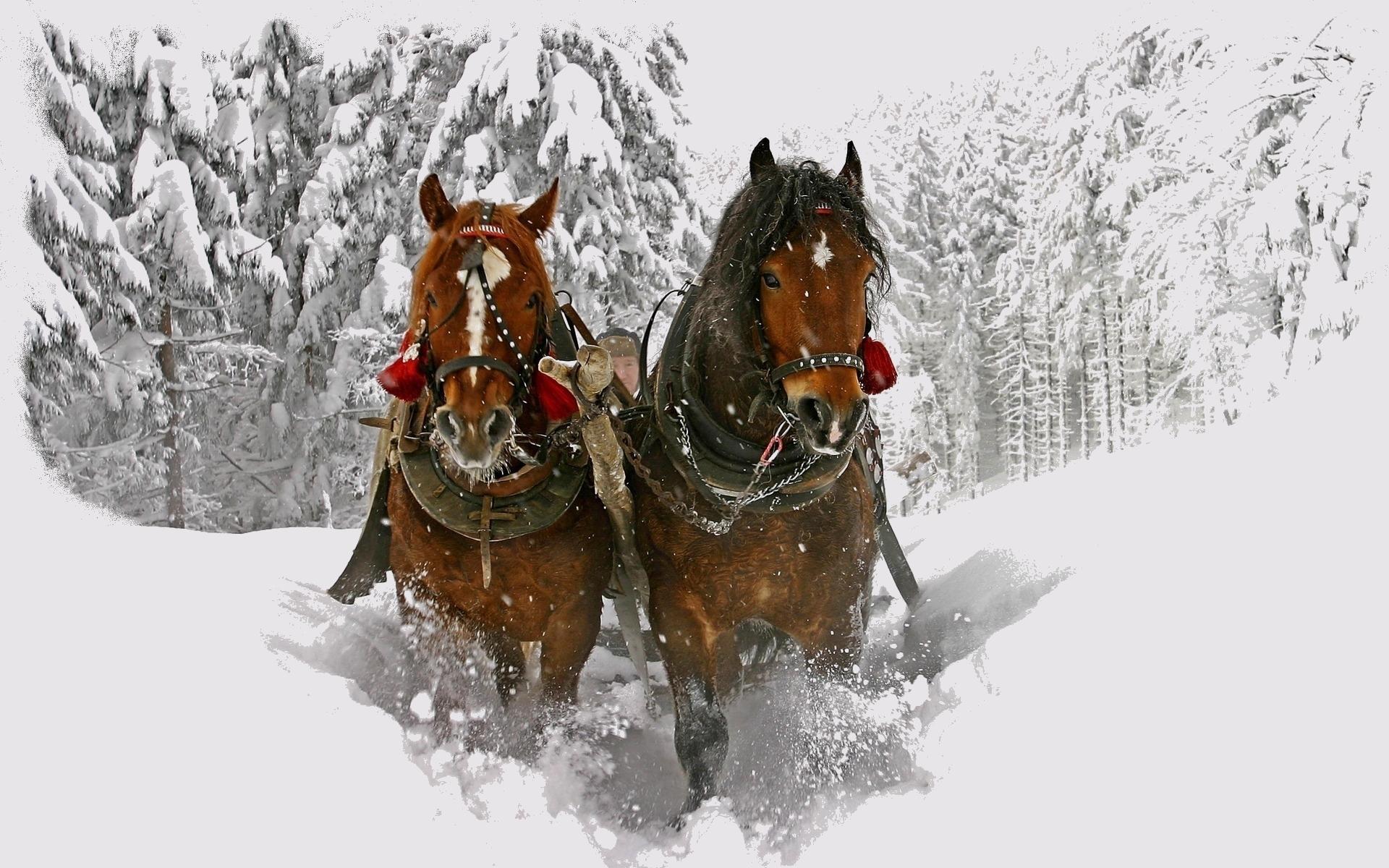 23869 скачать обои Лошади, Животные, Зима, Снег - заставки и картинки бесплатно