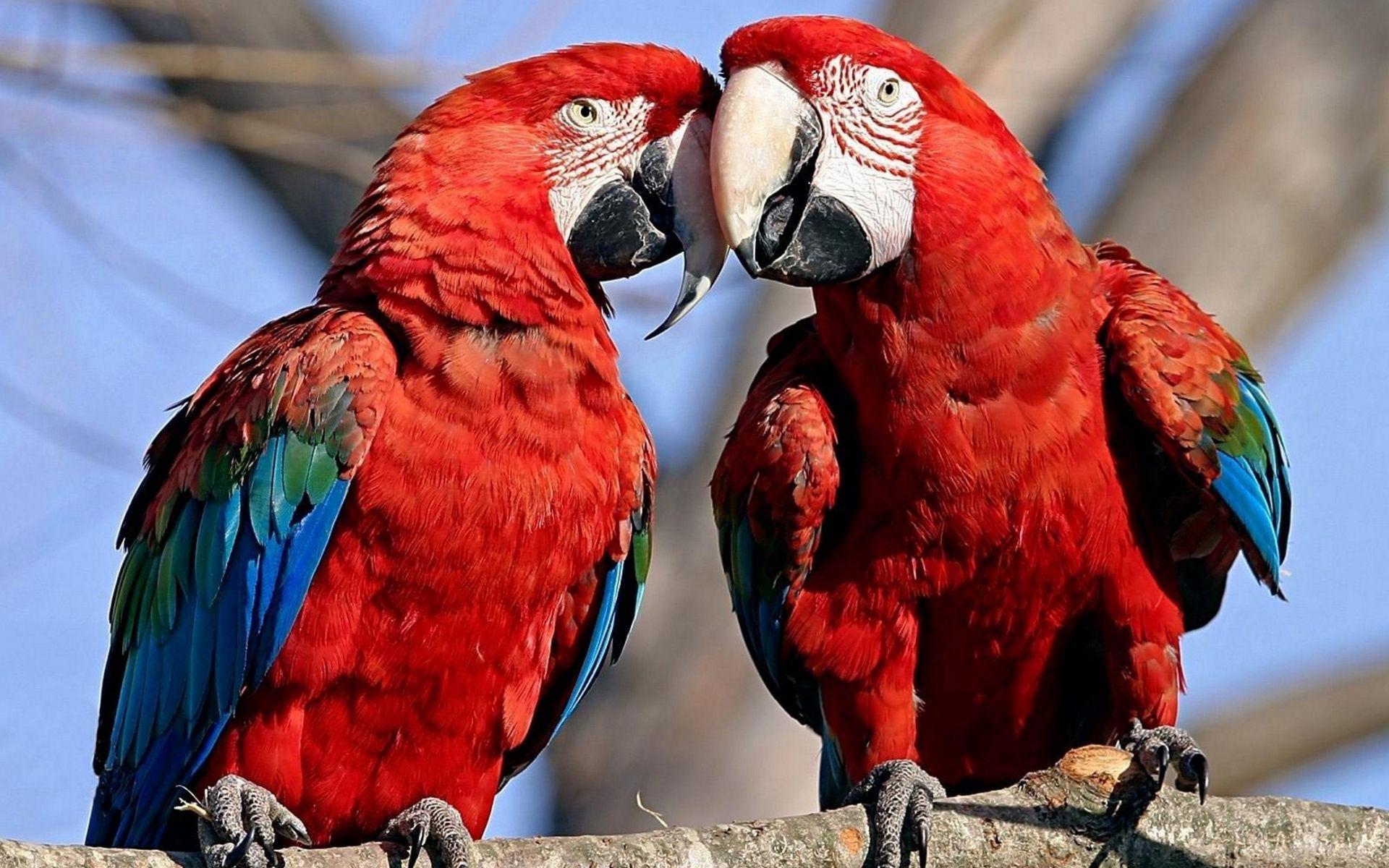 78534 Заставки и Обои Попугаи на телефон. Скачать Попугаи, Животные, Перья, Пара, Окрас, Забота, Нежность картинки бесплатно