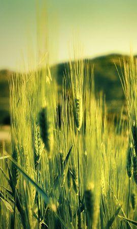 2542 скачать обои Растения, Пшеница - заставки и картинки бесплатно