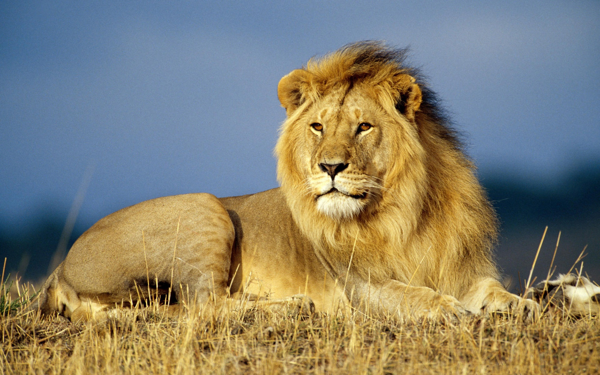 34259 download wallpaper Animals, Lions screensavers and pictures for free