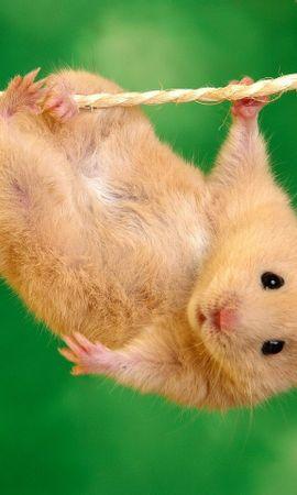 21706 baixar papel de parede Animais, Hamsters - protetores de tela e imagens gratuitamente