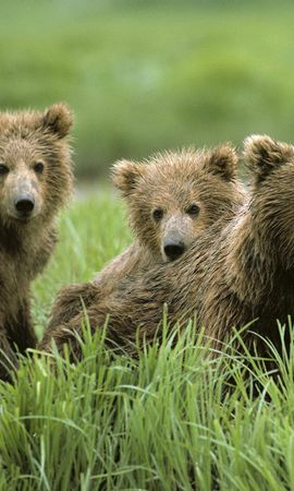 8530 download wallpaper Animals, Bears screensavers and pictures for free